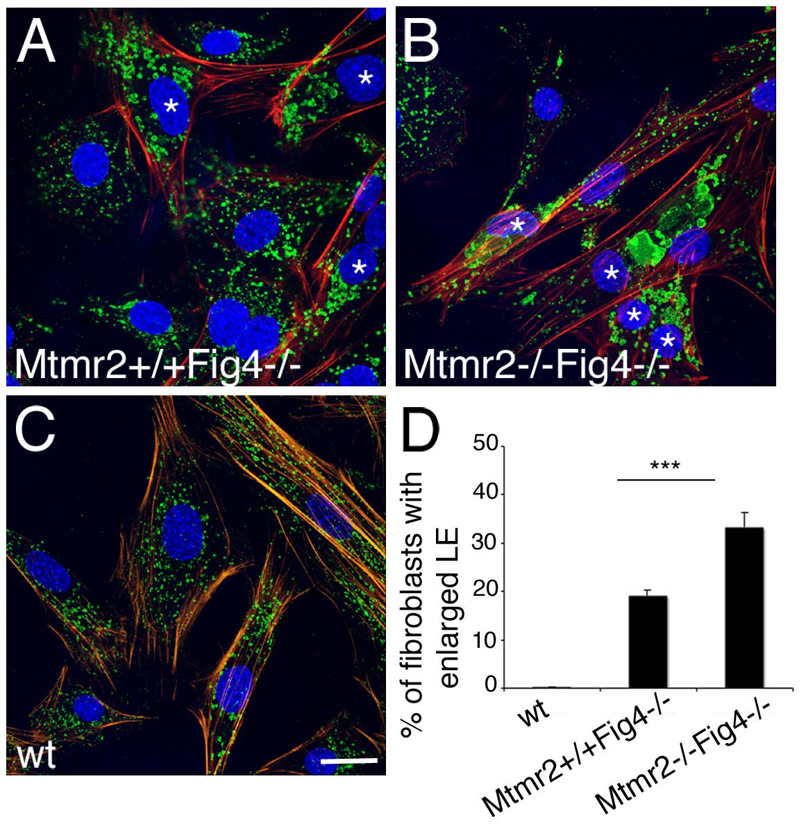 Enlarged late endosomal compartment in primary fibroblasts from <i>Mtmr2</i>+/+<i>Fig4</i>−/− and <i>Mtmr2</i>−/−<i>Fig4</i>−/− mutant mice.