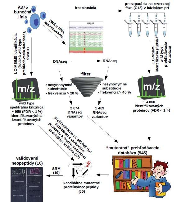 """Proteogenomická platforma na identifikáciu, kvantifikáciu a validáciu mutantných proteínov/neopeptidov. Obrázek zobrazuje možnosti identifikácie a kvantifikácie mutantných aminokyselinových sekvencií za pomoci kombinácie genomických a proteomických metód. Kľúčové je využitie genomických metód poskytujúcich Databázu pravdepodobných mutácií, ktorá je následne pretransformovaná do vlastnej prehľadávacej knižnice. Prehľadávaním LC-MS/MS dát s vlastnou """"mutantnou"""" knižnicou sme schopní identifi kovať mutantné proteíny/neopeptidy. Pokiaľ je predmetom výskumu kvantifi kácia väčšieho množstva mutantných proteínov/ neopeptidov možno použiť metódu SWATH spojenú s tvorbou mutantnej spektrálnej knižnice z LC-MS/MS dát. Validáciu, prípadne presnú kvantifikáciu kandidátnych neoantigénov docielime použitím izotopovo značených variantov neopeptidov a metódy monitorovania vybraných reakcií (SRM)."""