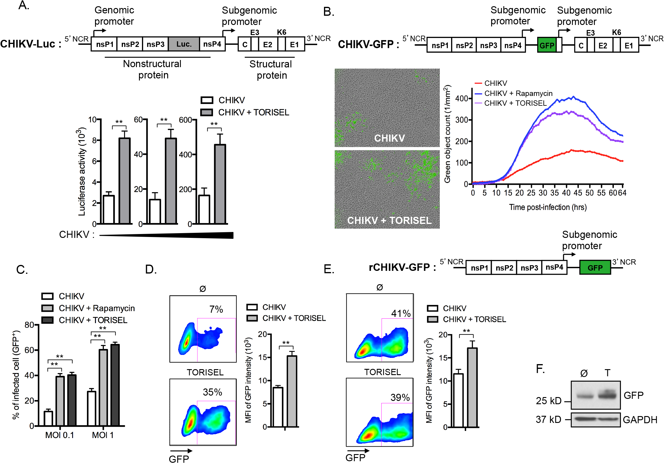 mTORC1 inhibitors enhance translation of both structural and non-structural CHIKV proteins.