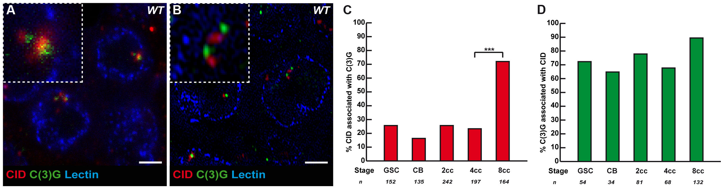 The Synaptonemal Complex component C(3)G is present near some centromeres in the mitotic region.