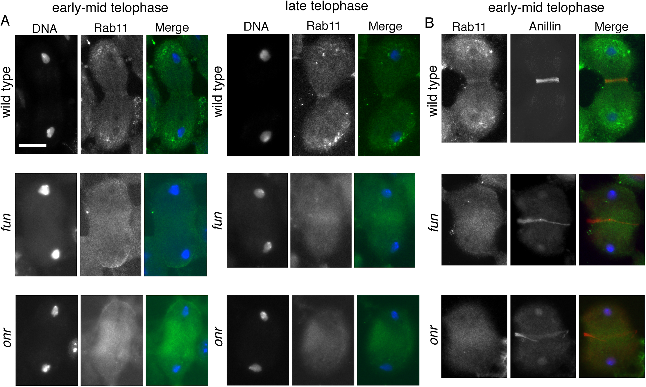 <i>onr and fun mutations</i> disrupt localization of Rab11 protein in dividing spermatocytes.