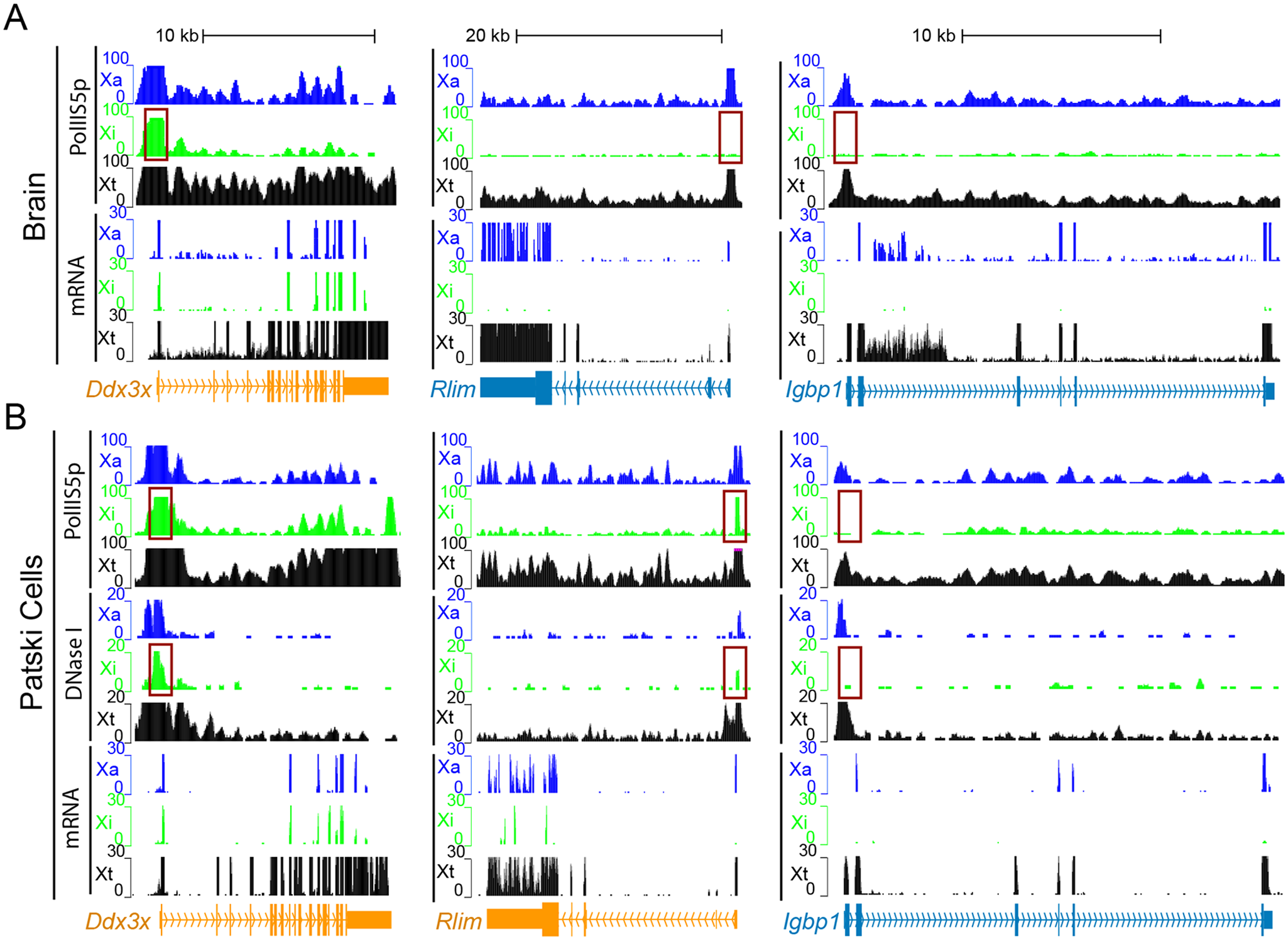 Enrichment in PolII-S5p and DNase I hypersensitivity on the Xi allele at escape genes.