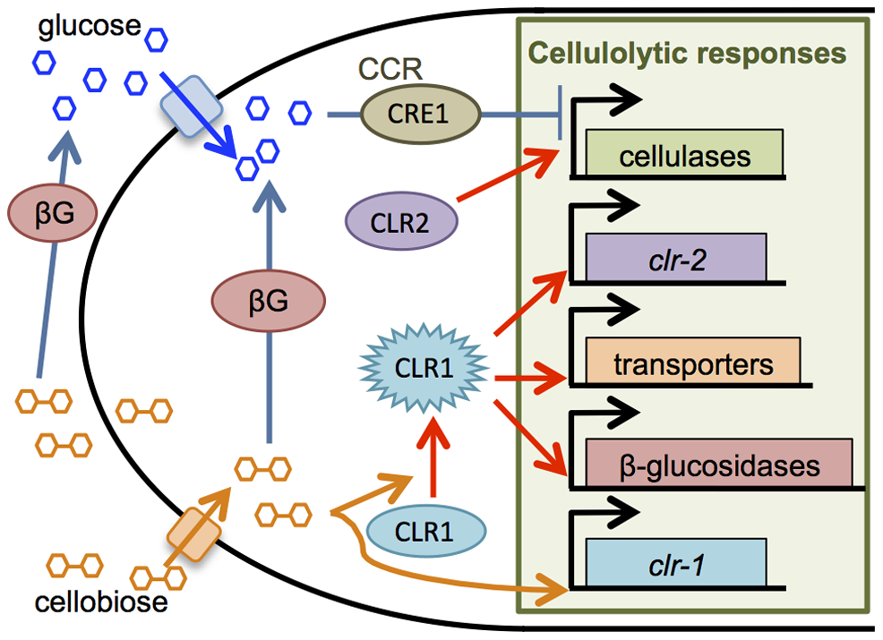 Cellulase production in <i>N. crassa</i> is regulated by cellobiose induction and CCR.