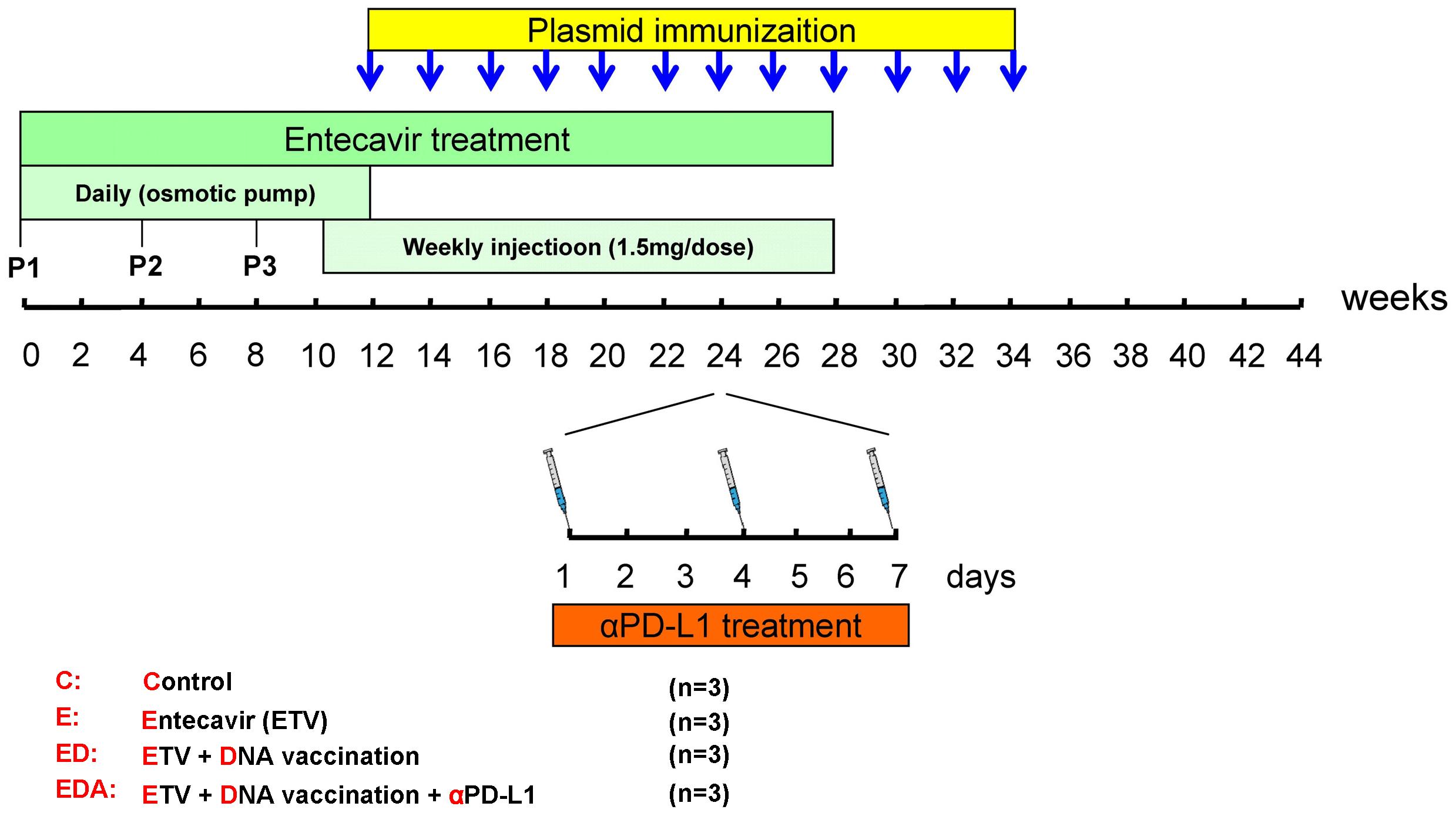 Schema of triple combination therapy of ETV treatment, DNA vaccination and <i>in vivo</i> PD-L1 blockade.