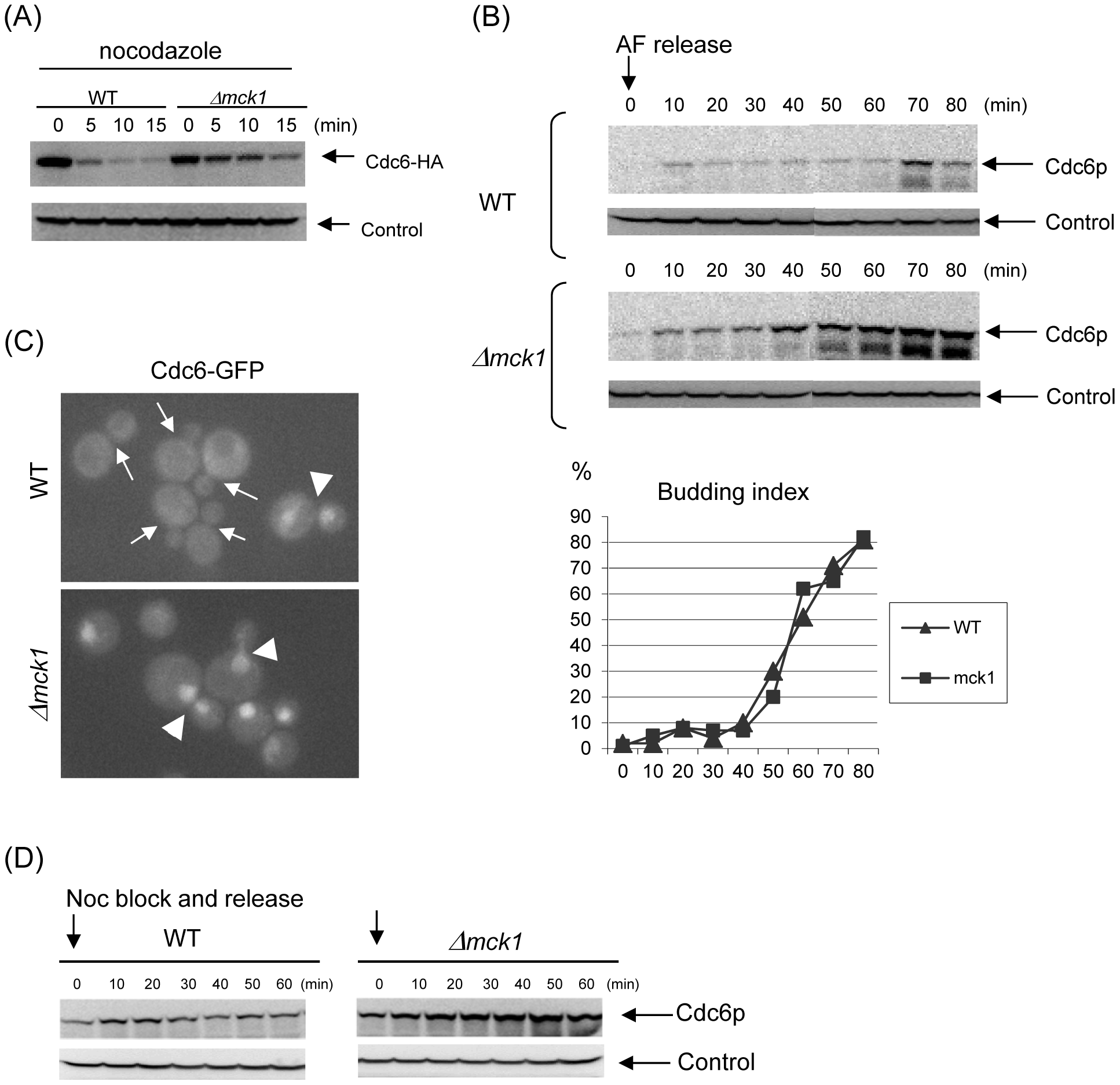 Mck1p is required for Cdc6p degradation.