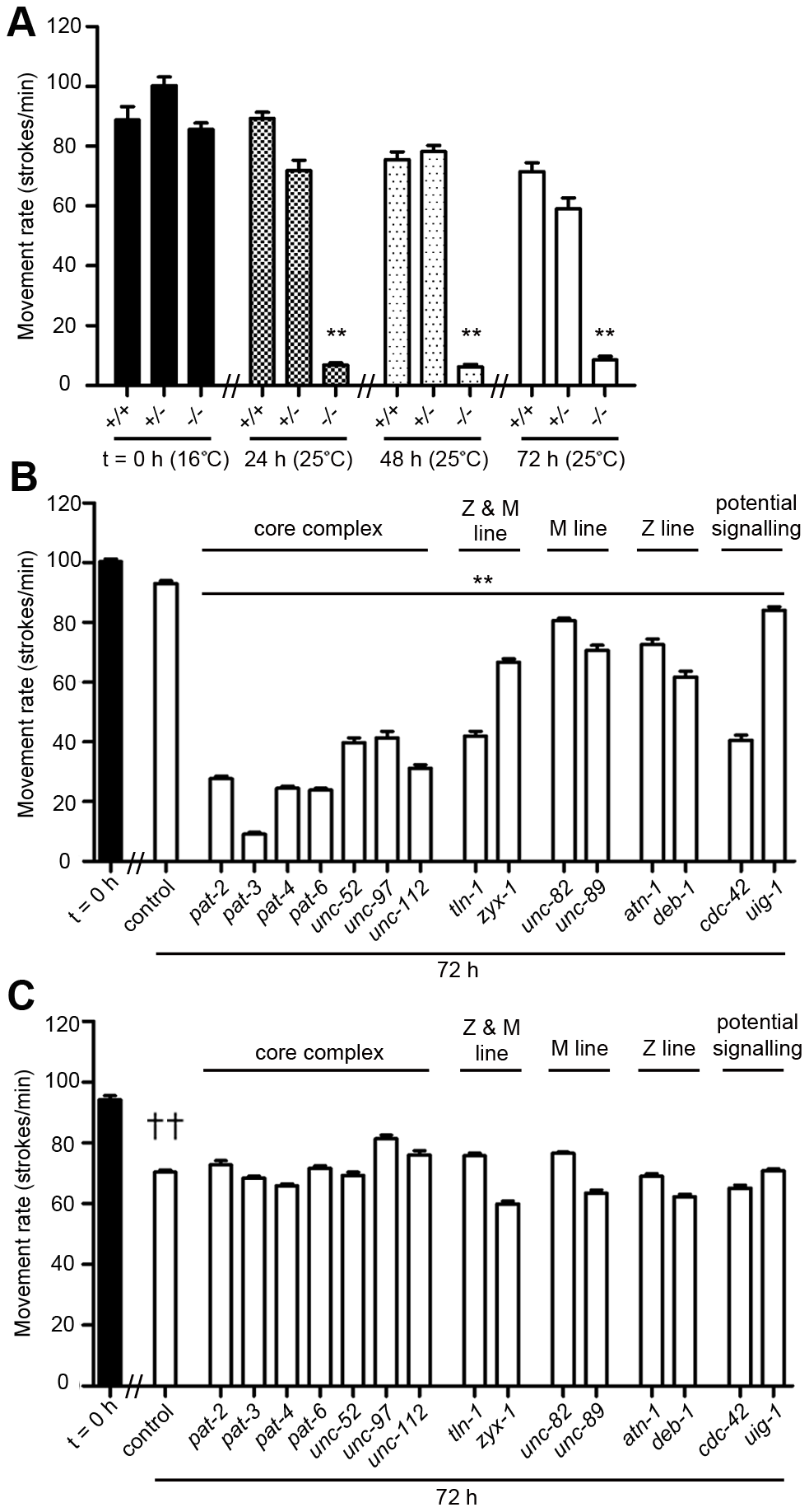 Acute loss of muscle attachment results in a movement defect that does not occur in <i>dim-1(ra102)</i> mutants.