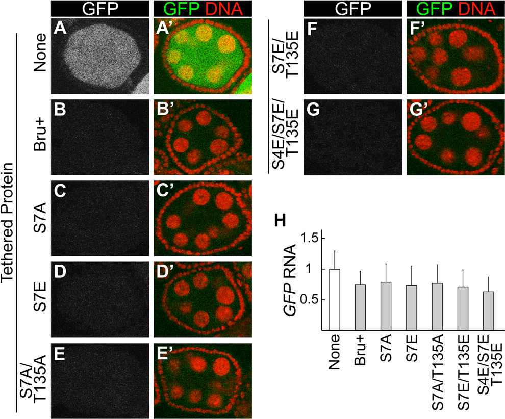 Interaction-defective Bru mutants retain strong repressive activity in the tethering assay.