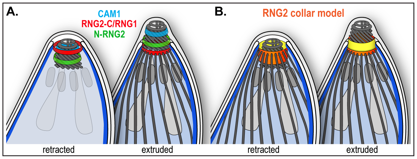 Schematic of RNG2 location within the apical complex.