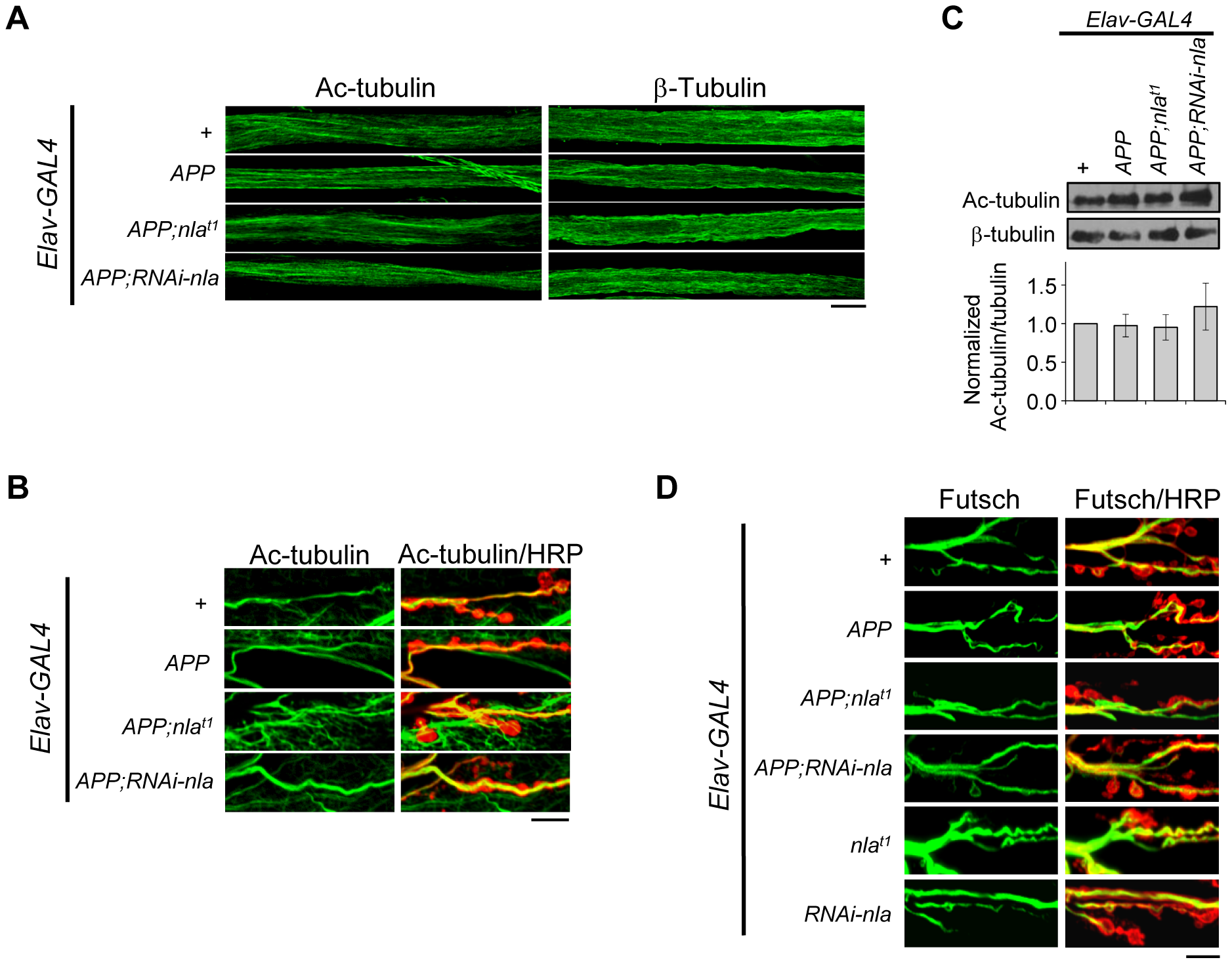 <i>APP</i> overexpression does not alter gross microtubule structure in the axons or NMJ.