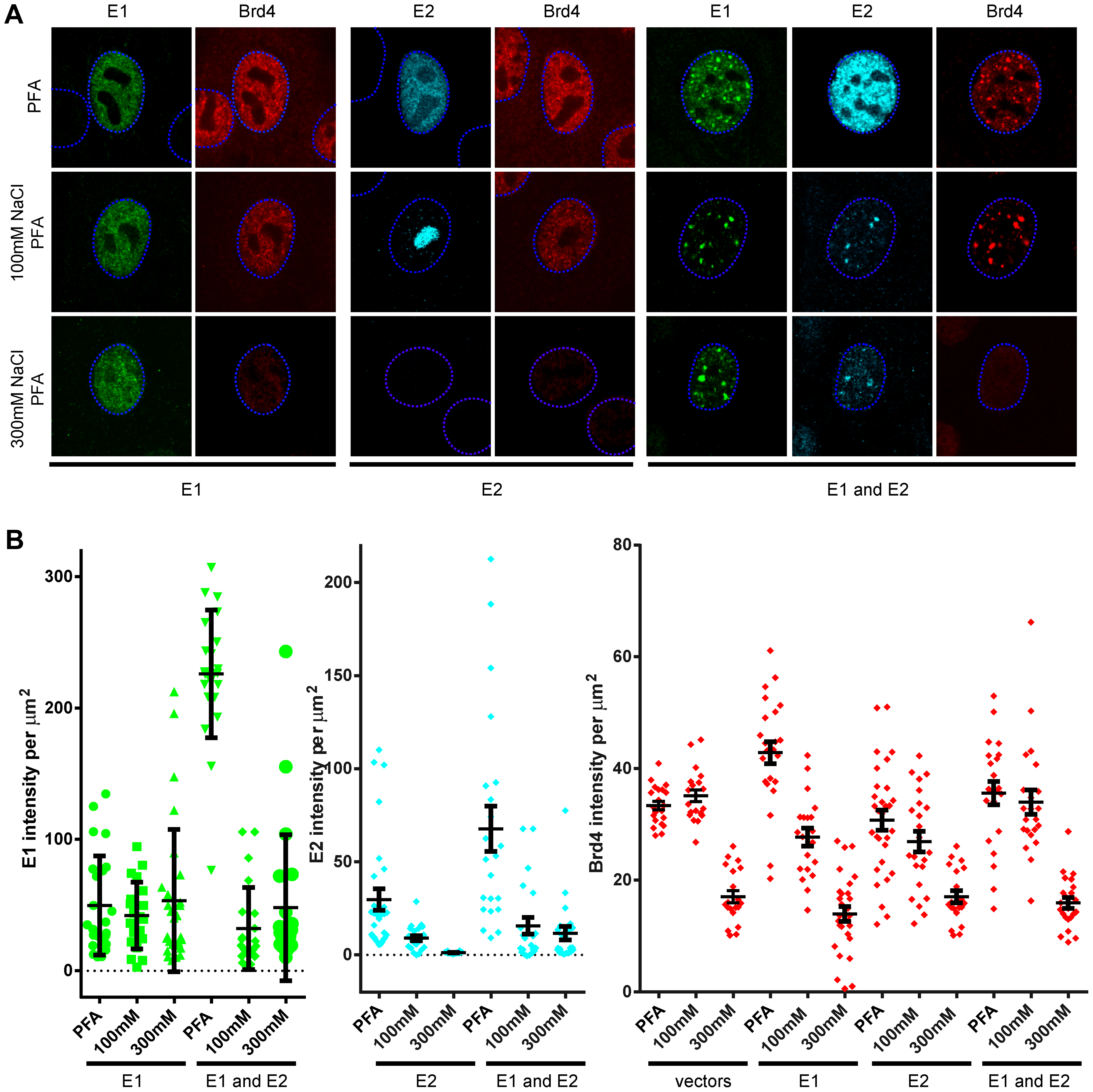 Salt extraction of cells expressing HPV16 E1 and E2 show that the E1 protein binds most tightly to host nuclei.