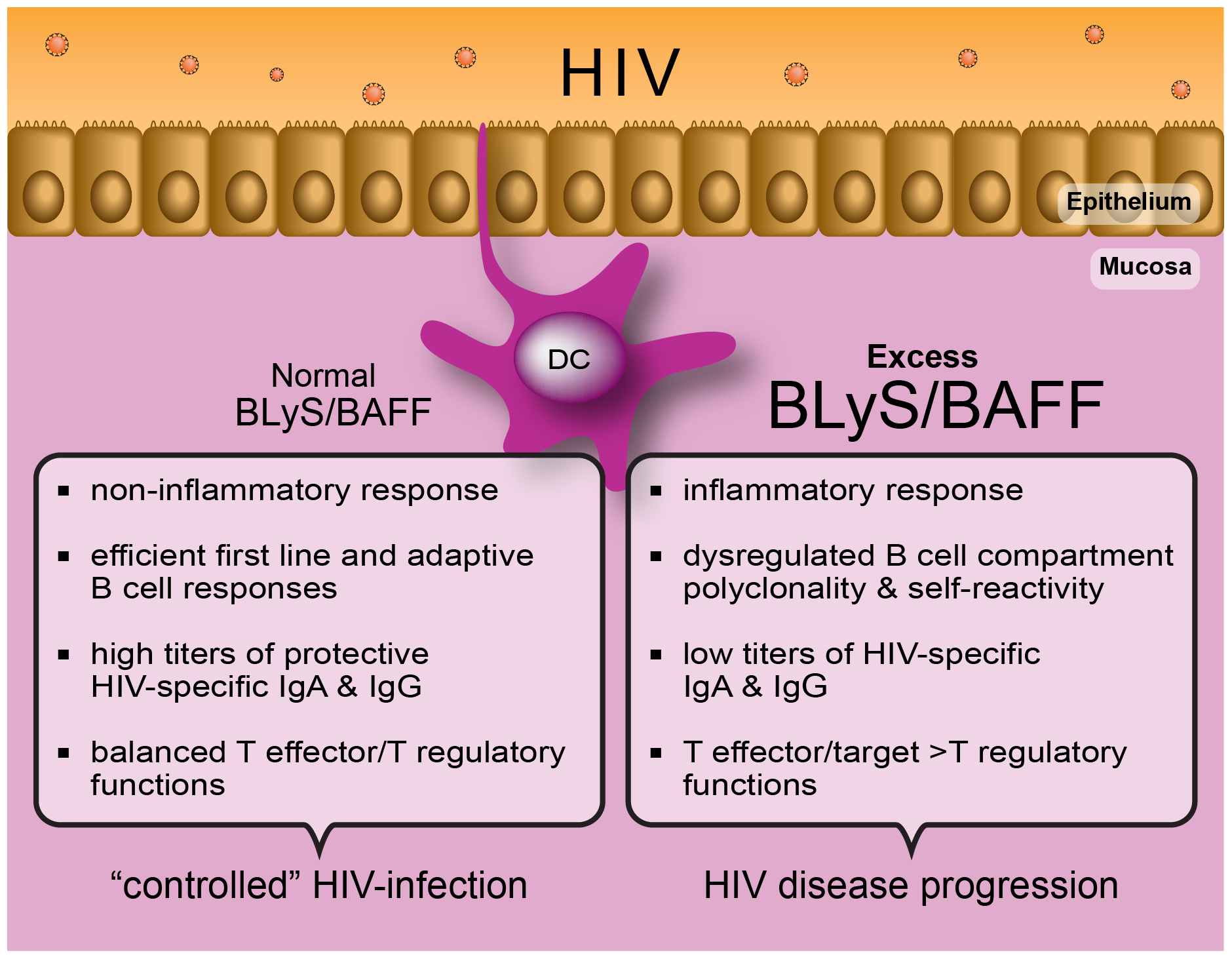 """The capacity to control immune homeostasis at mucosal sites, where the main battle against HIV takes place, is reflected by a normal """"non-inflammatory"""" BLyS/BAFF expression status."""