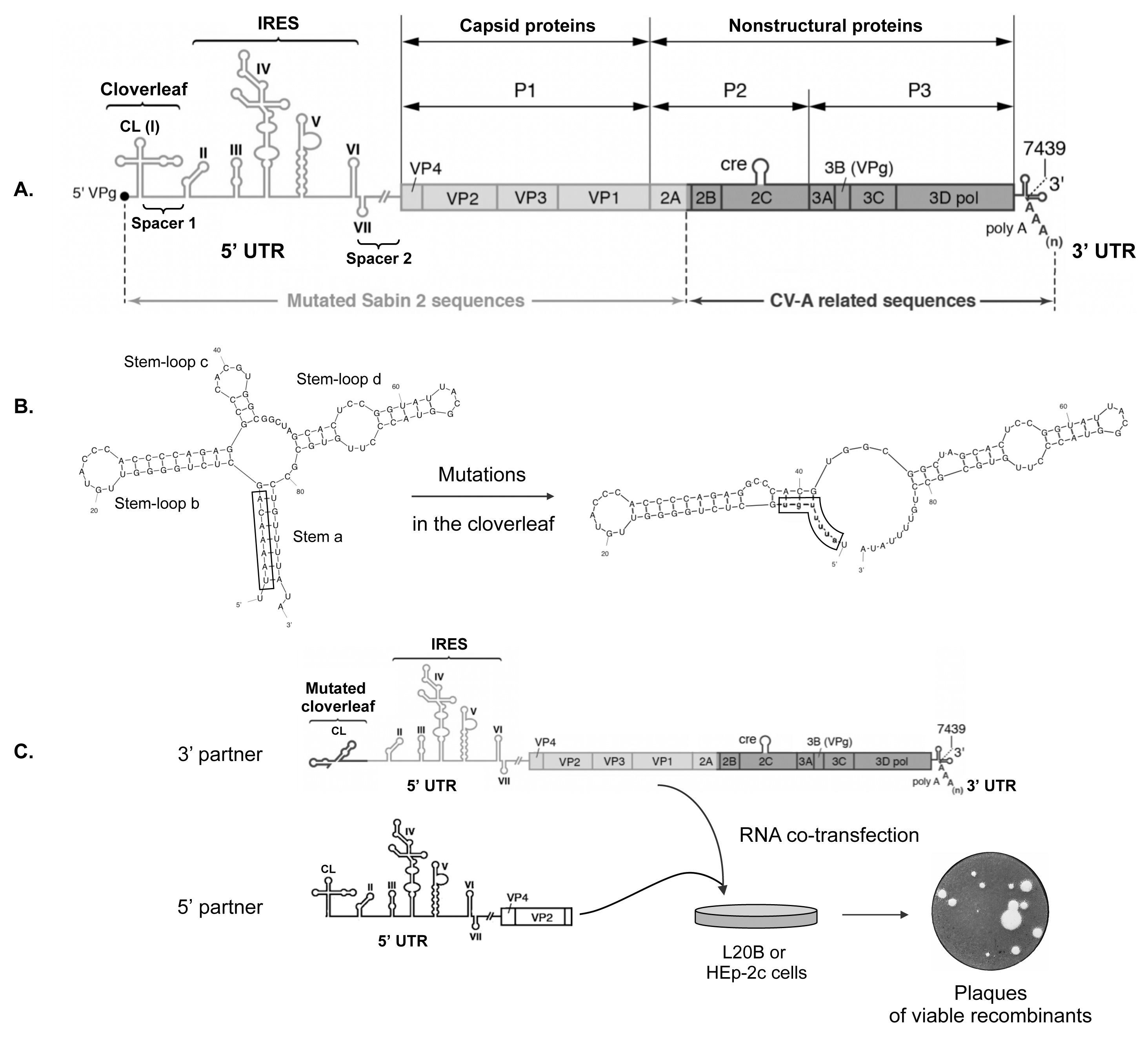 Experimental model of recombination in the 5' untranslated region of enteroviruses.
