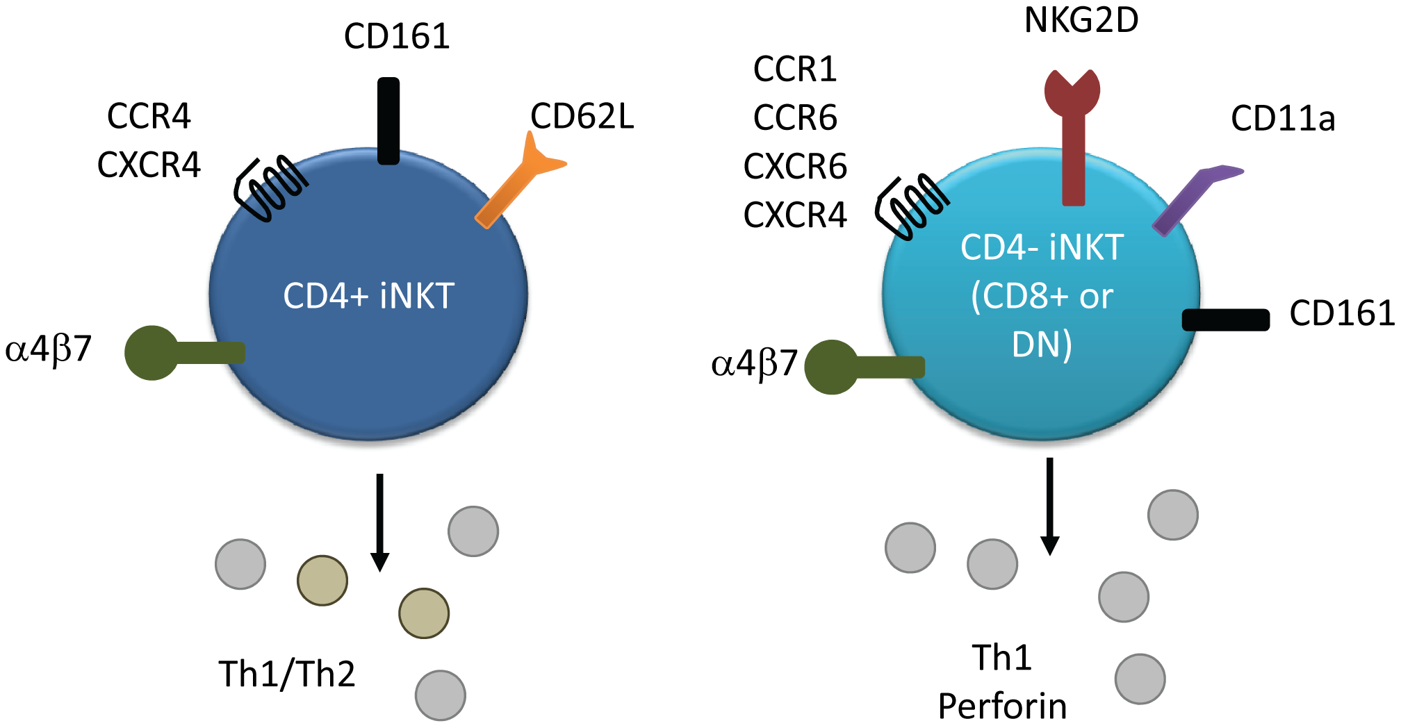 Surface marker and cytokine expression of human iNKT cell subsets.