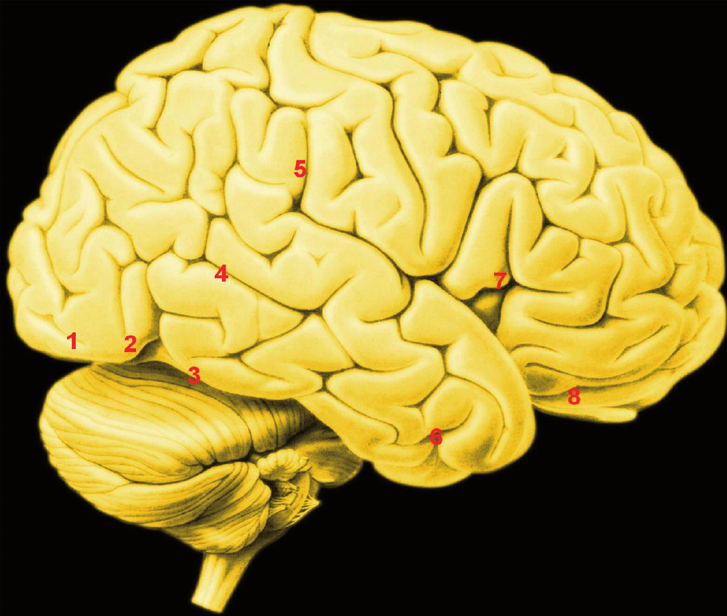 Zevní plocha pravé hemisféry. Čísla označují přibližnou polohu některých uzlů konektomů aktivovaných sociální percepcí Legenda: 1. – tělní korová oblast pro tváře; 2. – extrastriátová oblast pro tělo (EBA, extrastriatal body area); 3. – tvářová oblast gyrus fusiformis (FFA, fusiform face area); 4. – sulcus temporalis superior; 5. – lobulus parietalis inferior; 6. – amygdala: projekce na povrch; 7. – ventrolaterální prefrontální kůra (p. opercularis dolního čelního závitu); 8. – ventrolaterální prefrontální kůra (pars orbitalis); Oblast 1, 3. – aktivuje prohlížení tváří; Oblast 2. – aktivuje pohled na tělo; Oblast 4. – aktivuje sledování biologického pohybu, jakož i mentalizace Oblast 5, 7. – aktivuje sledování akce; Oblast 6, 8. – aktivuje rozlišování emocí;