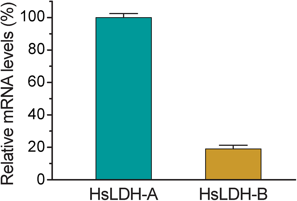 Relative mRNA levels of two human LDH isoforms in host cells.