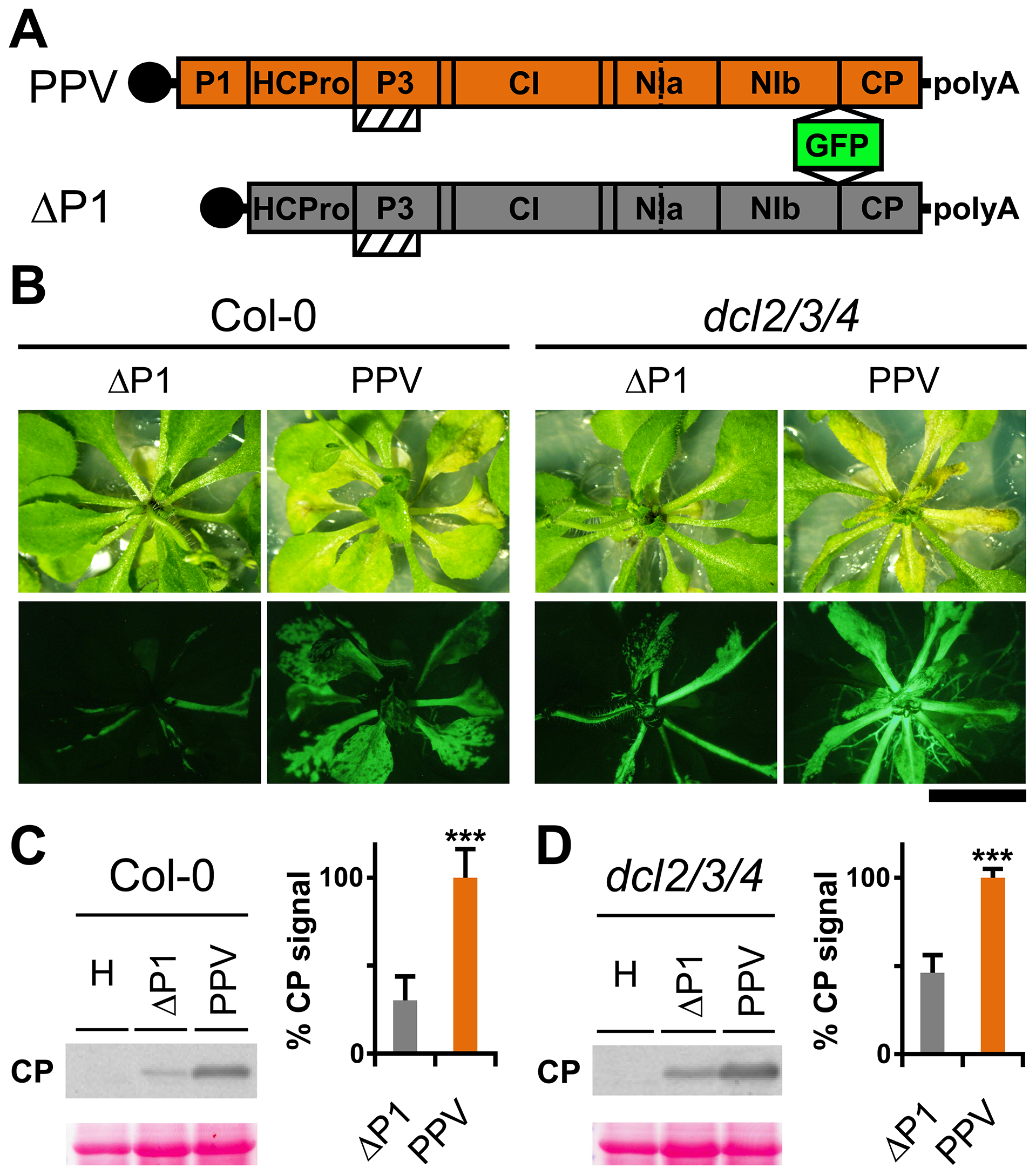 <i>Arabidopsis</i> mutant plants with defective RNA silencing pathways fail to rescue PPV ΔP1 amplification defects.