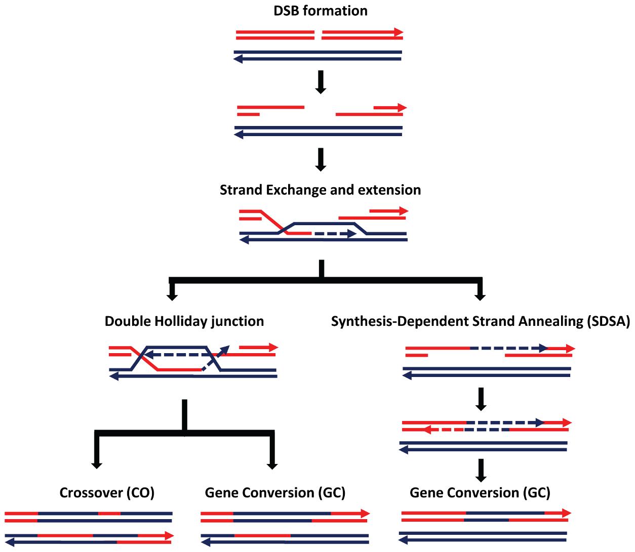 Schematic representation of the double-strand break (DSB) repair pathway and recombination from Comeron et al. <em class=&quot;ref&quot;>[<b>15</b>]</em>.