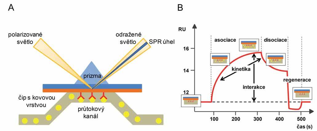 Princip metody rezonance povrchového plazmonu (A) a grafický výstup SPR experimentu, sensorgram (B).  A. Jeden z interakčních partnerů je imobilizován na povrchu čipu a v roztoku proudícím kolem imobilizované molekuly je přítomen druhý interakční partner. Změna indexu lomu na povrchu čipu způsobená jejich vzájemnou interakcí je zaznamenána jako posun SPR úhlu. B. Výstup SPR experimentu zobrazuje vazbu interakčních partnerů na povrchu čipu. V prvním kroku (asociace) dochází k vazbě interakčního partnera přítomného v roztoku na partnera imobilizovaného na povrchu čipu až do stavu saturace. Následná disociace je způsobená použitím reakčního pufru. Dochází k ustálení dynamické rovnováhy interakce závislé na afinitě interakčních partnerů. Užitím regeneračního pufru ve třetím kroku je čip regenerován a připraven k dalšímu použití. Převzato ze semináře BIAcore<sup>®</sup> [10].