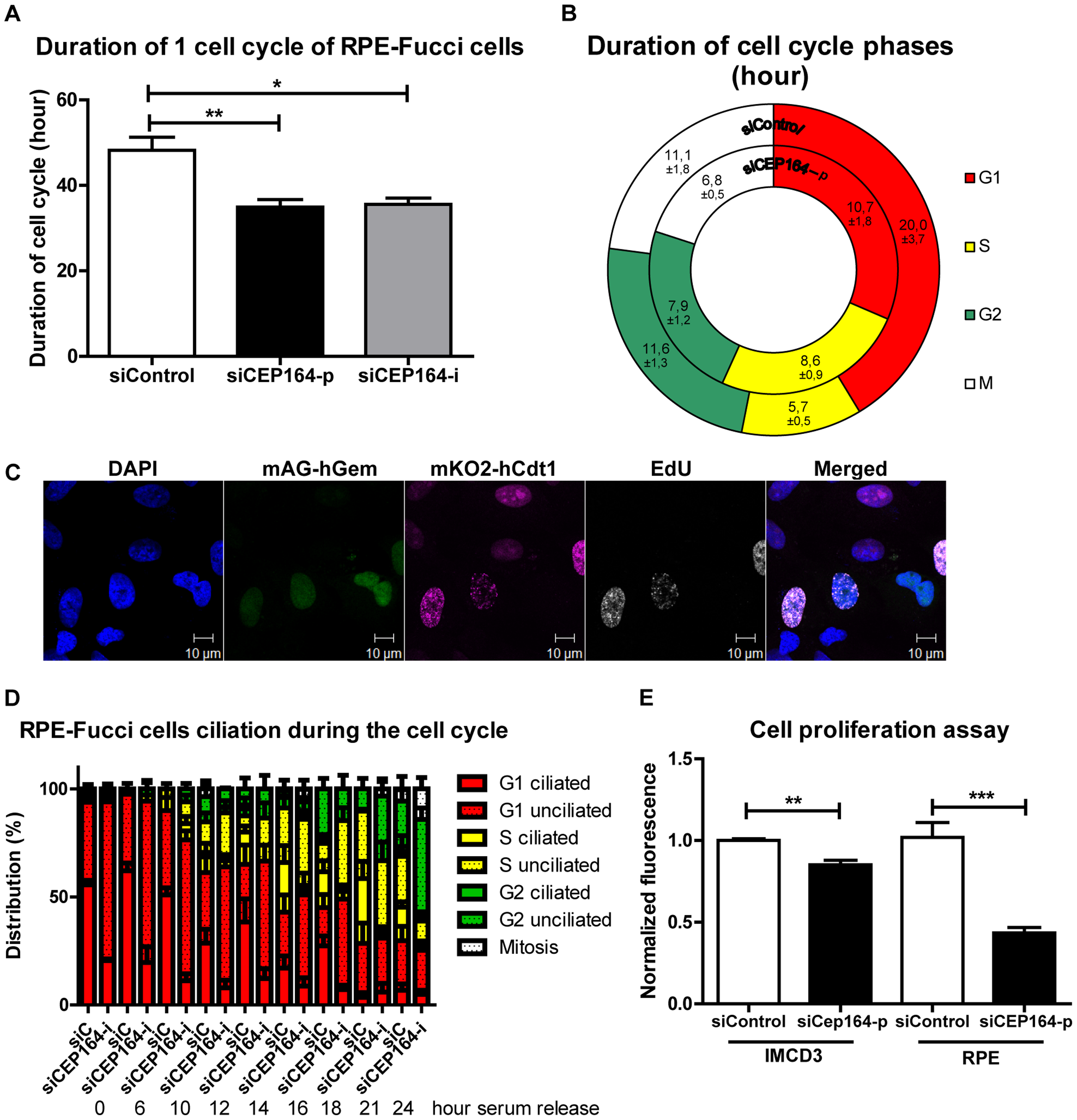 CEP164 regulates cell cycle progression and proliferation.