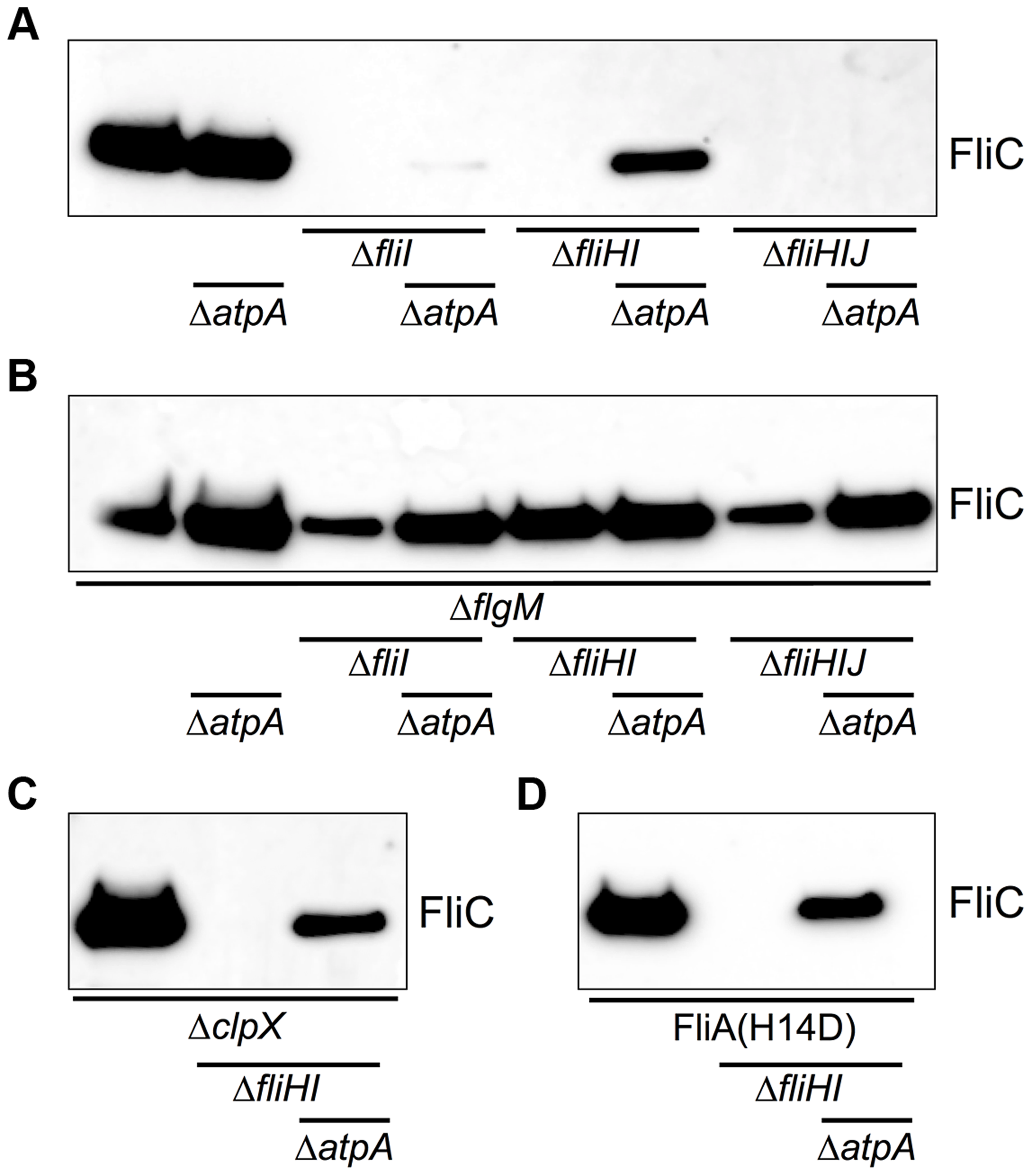 Flagellin protein secretion is restored in the absence of FliHIJ ATPase components by Δ<i>atpA</i>, <i>ΔflgM</i>, <i>ΔclpX</i>, and <i>fliA<sup>H14D</sup></i> mutations.