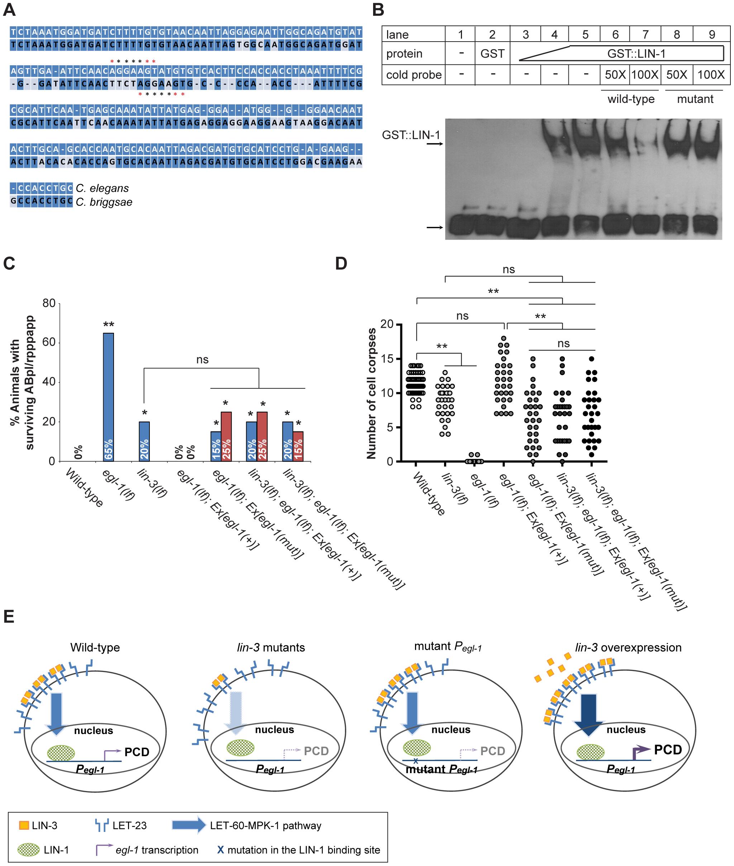 <i>lin-3</i> promotes PCD through transcriptional activation of <i>egl-1</i> by LIN-1.