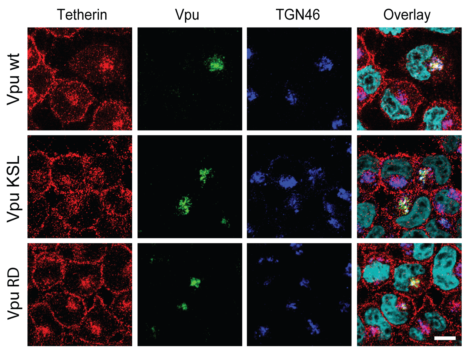 Re-localization of Tetherin in the TGN requires the association of Vpu to the restriction factor.