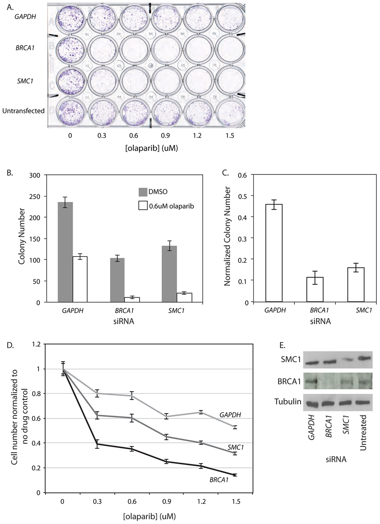 <i>SMC1</i> siRNA treated human cells are sensitive to the PARP inhibitor olaparib.