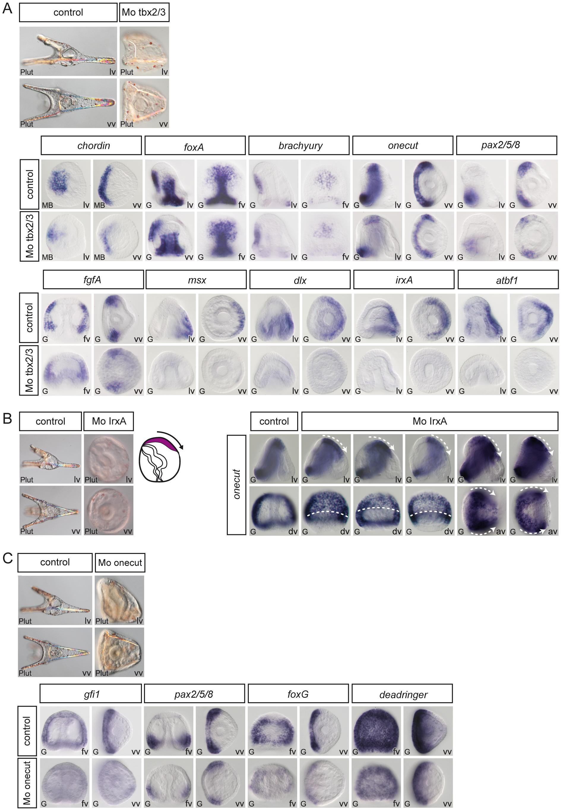 Epistasis analysis of dorsal genes: <i>irxA</i> as a repressor of ciliary band gene expression downstream of <i>tbx2/3</i>.