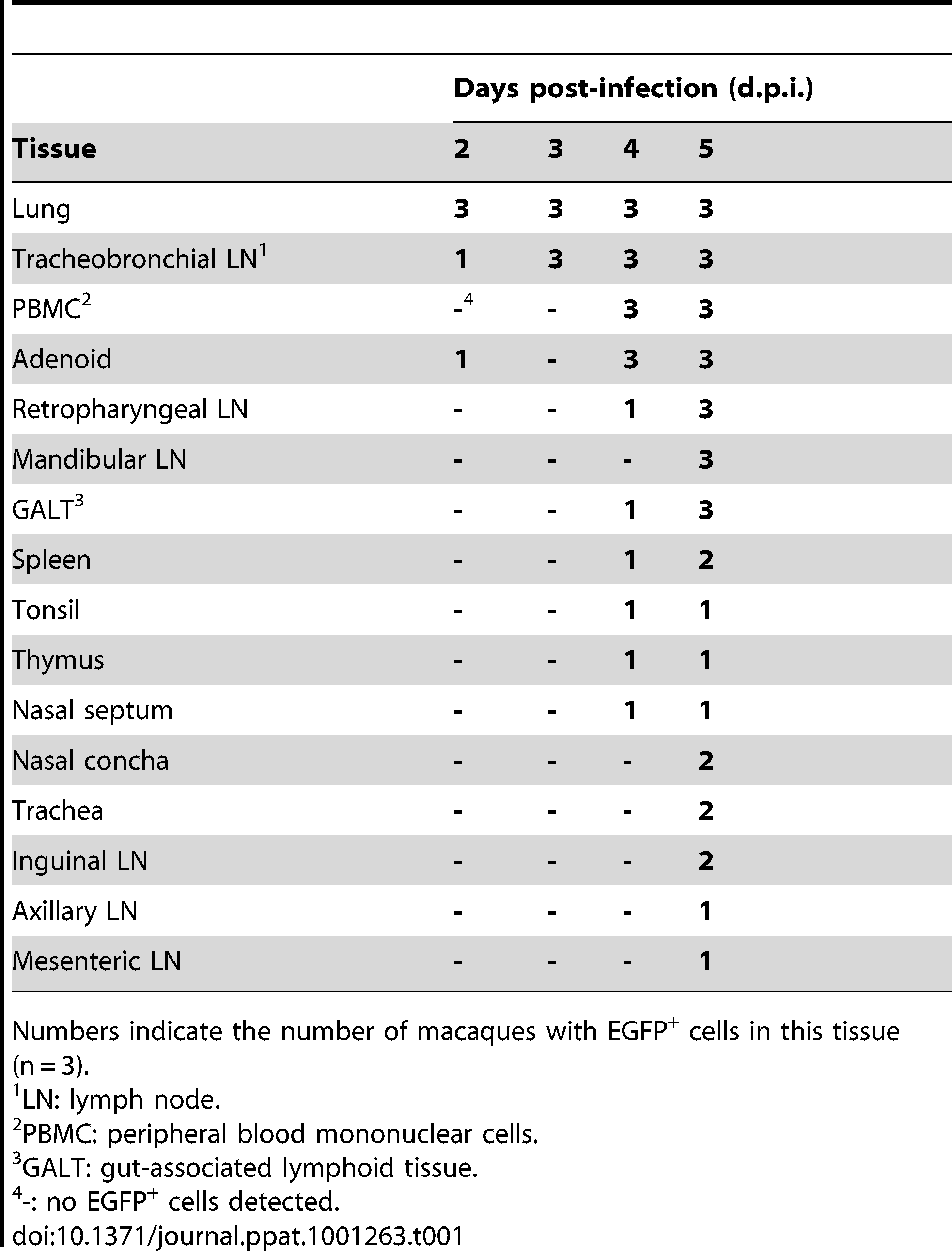 Dissemination of MV in tissues during early stage of infection.