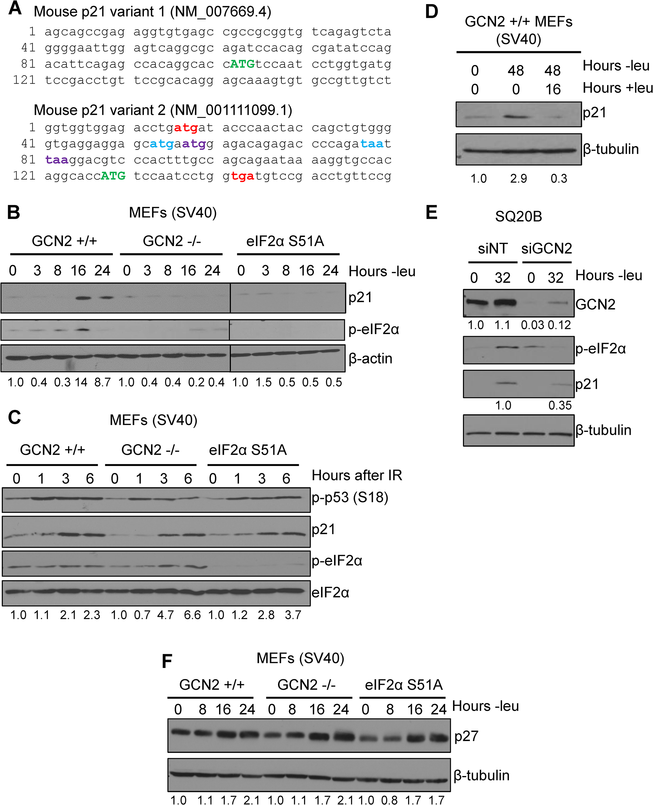 p21 induction under amino acid deprivation requires GCN2 and eIF2α phosphorylation.