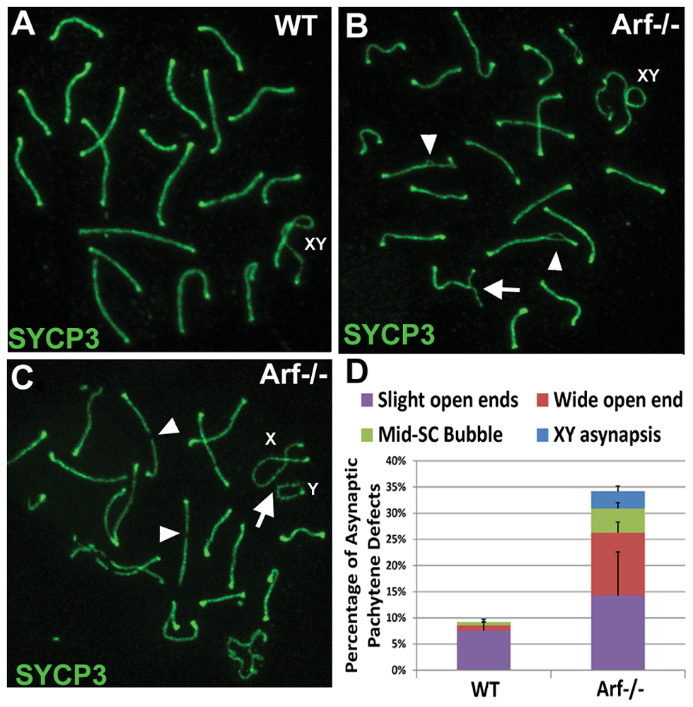 <i>Arf</i>-null pachytene spermatocytes exhibit synaptic defects.