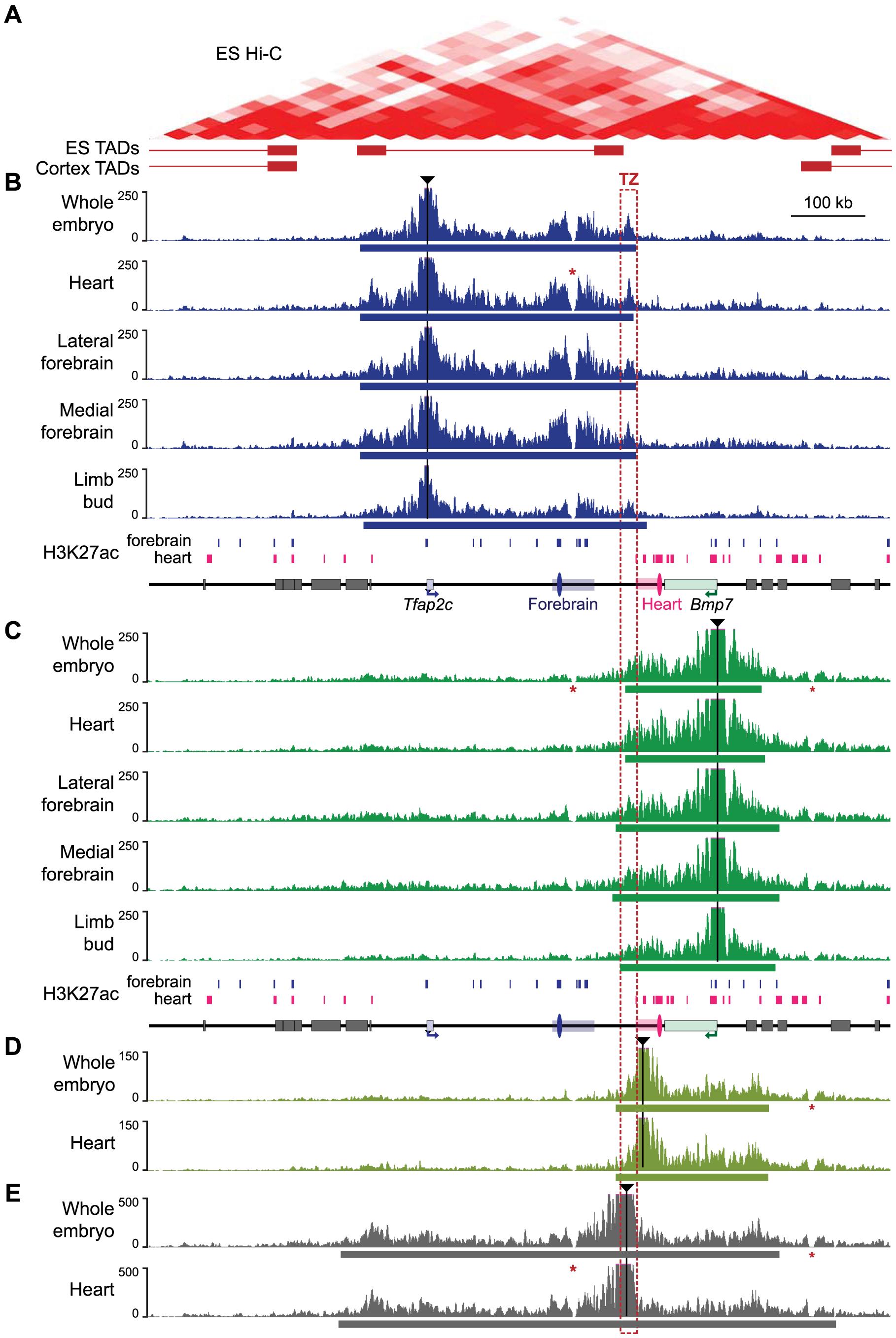 4C profiles describing the conformational structure of the <i>Tfap2c-Bmp7</i> locus.