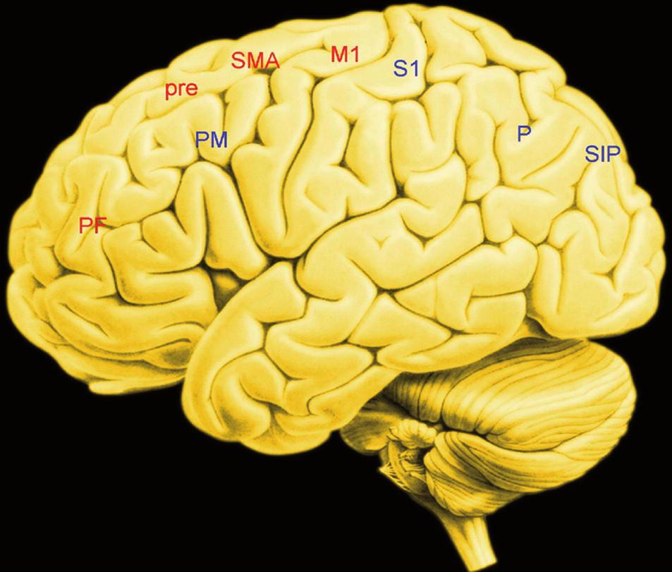 Zevní plocha levé hemisféry – uzly obvodú, jejichž činnost je podkladem volní akce