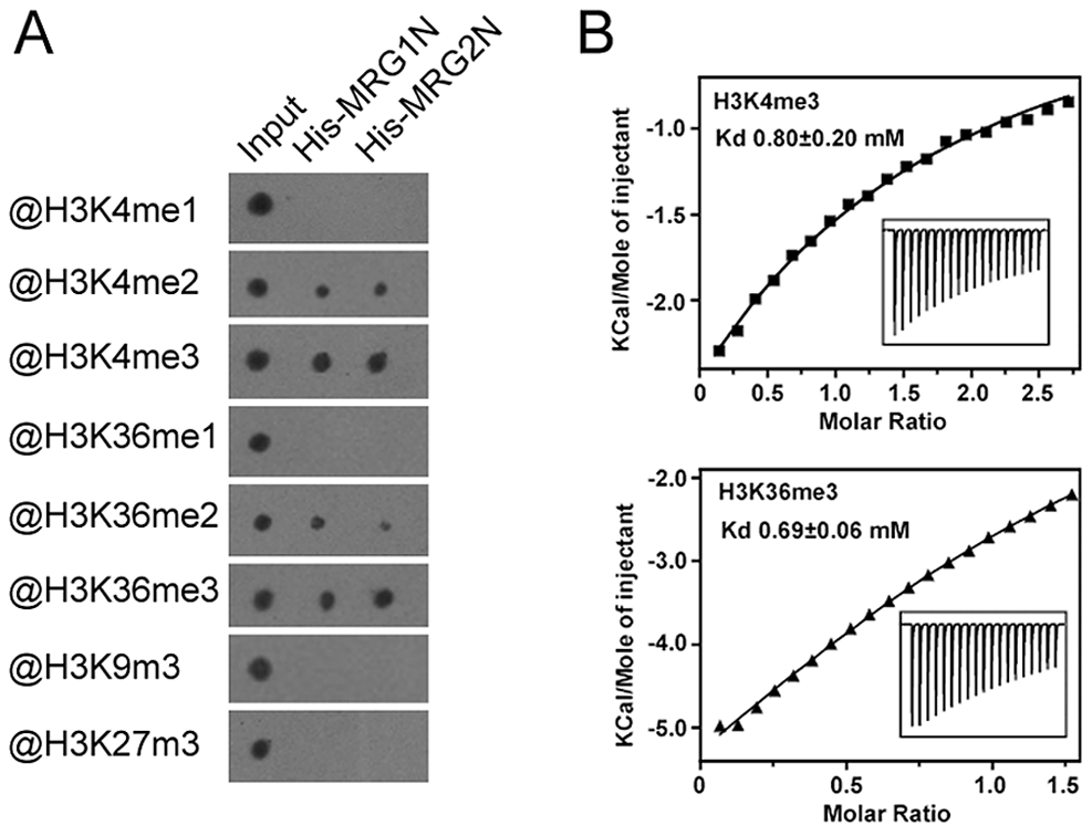 Chromodomains of MRG1 and MRG2 specifically bind to tri-methylated H3K4 and H3K36 <i>in vitro</i>.