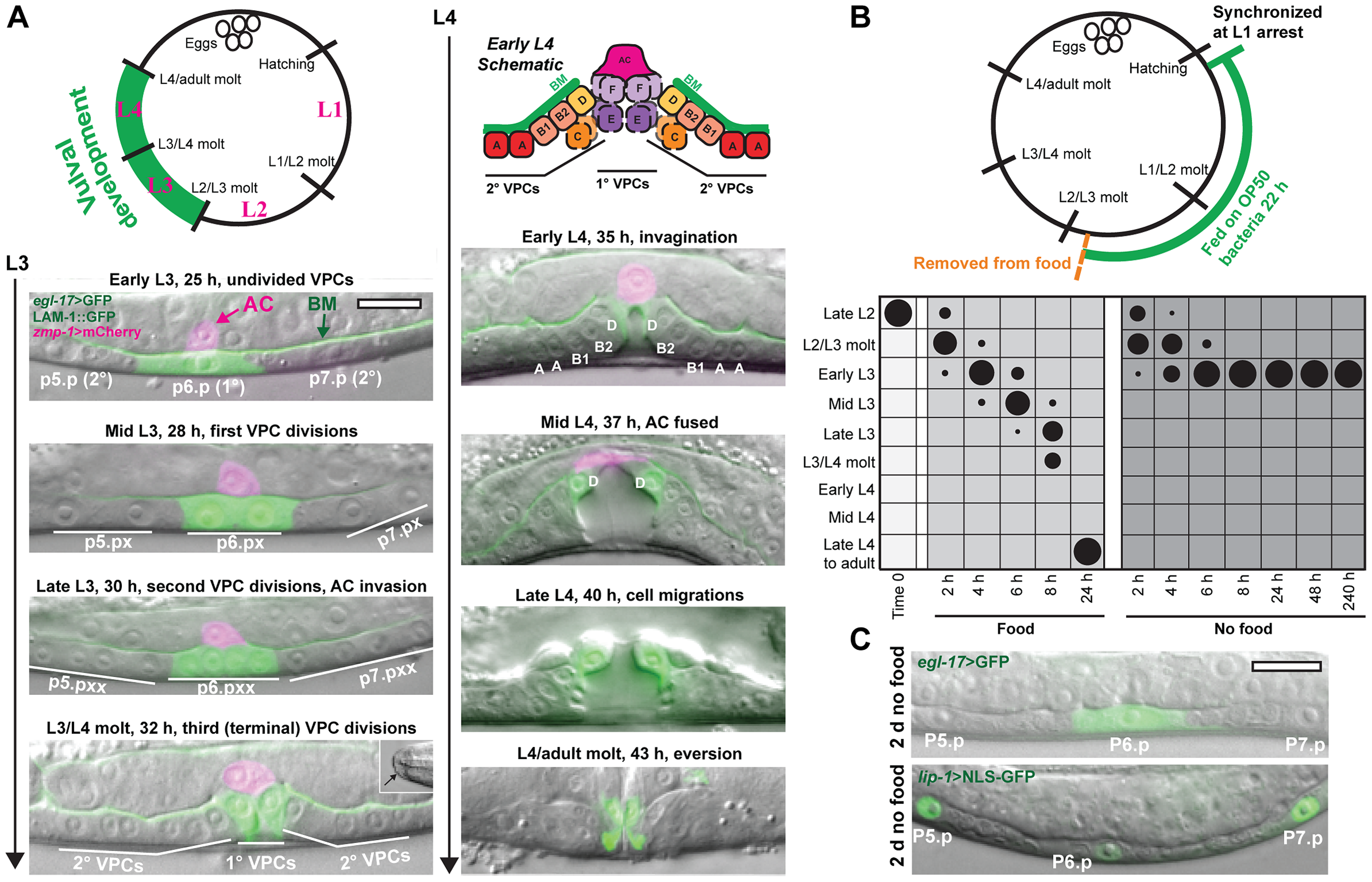 Removal from food induces arrest in vulval development early in the L3 stage.