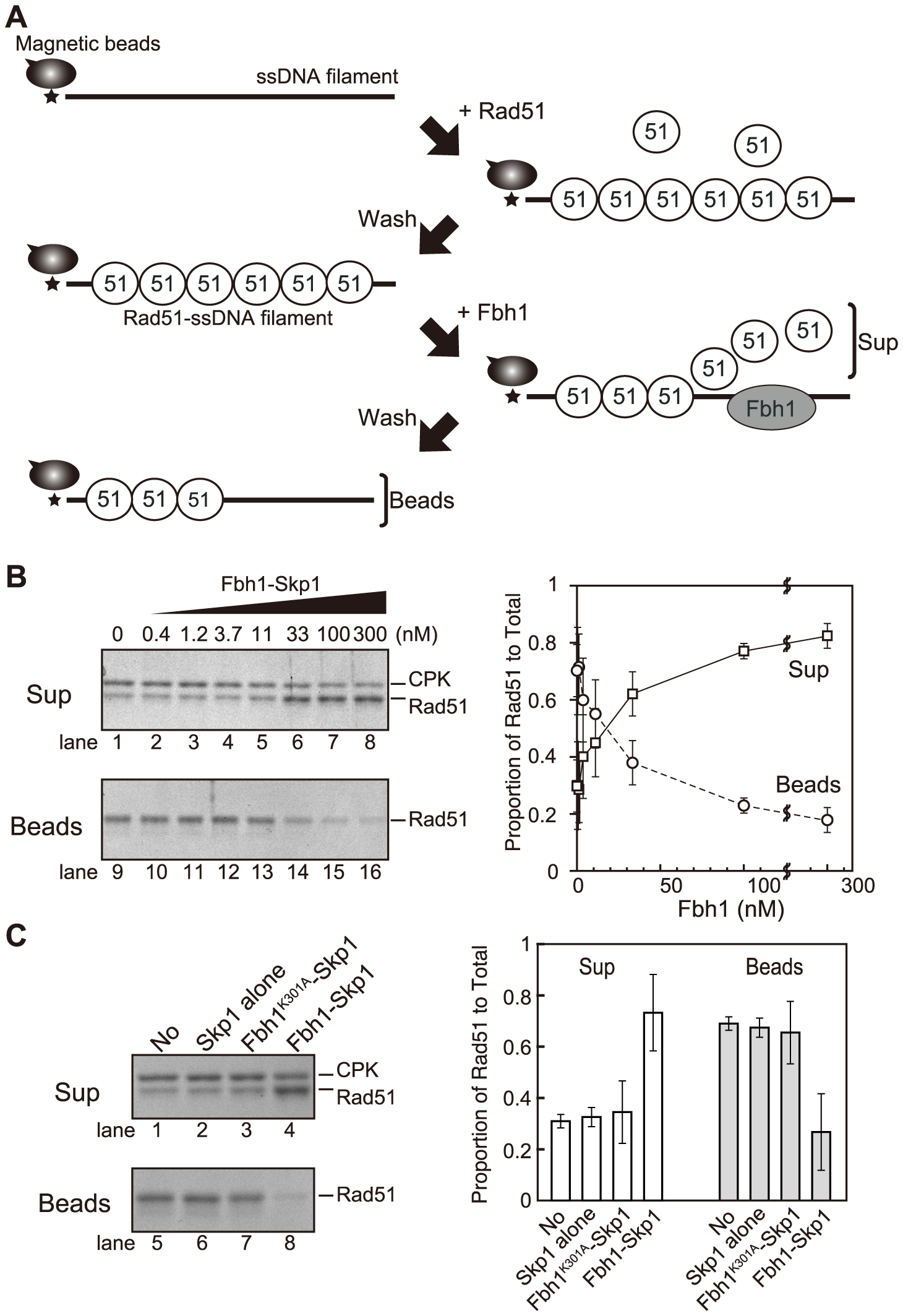Disruption of Rad51-ssDNA filaments is dependent on Fbh1 helicase/translocase activity.