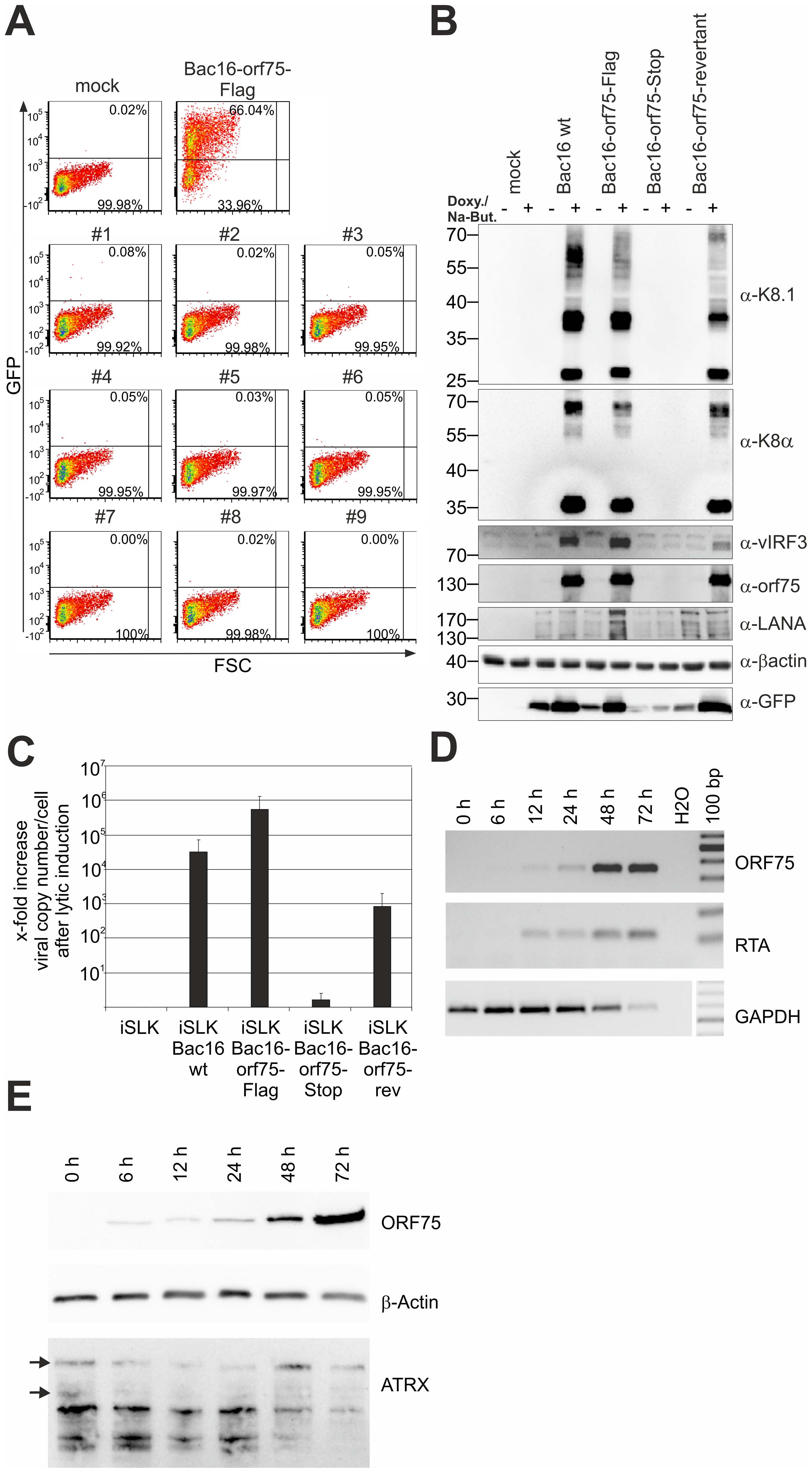 KSHV ORF75 is essential for viral replication.