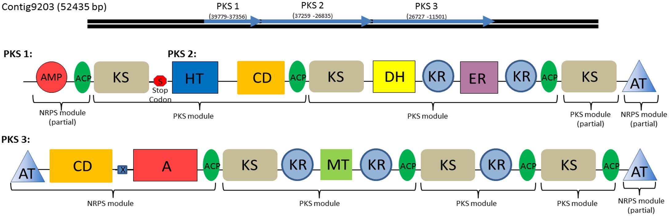 Type I Polyketide synthase and PKS-NRPS hybrid domains found in the <i>C</i>. <i>tobin</i> genome.