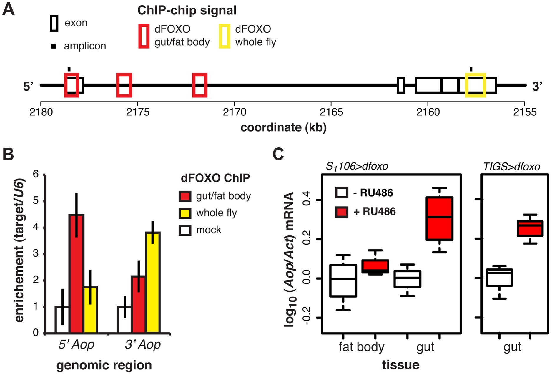 dFOXO regulates expression of <i>Aop</i> in the adult gut.