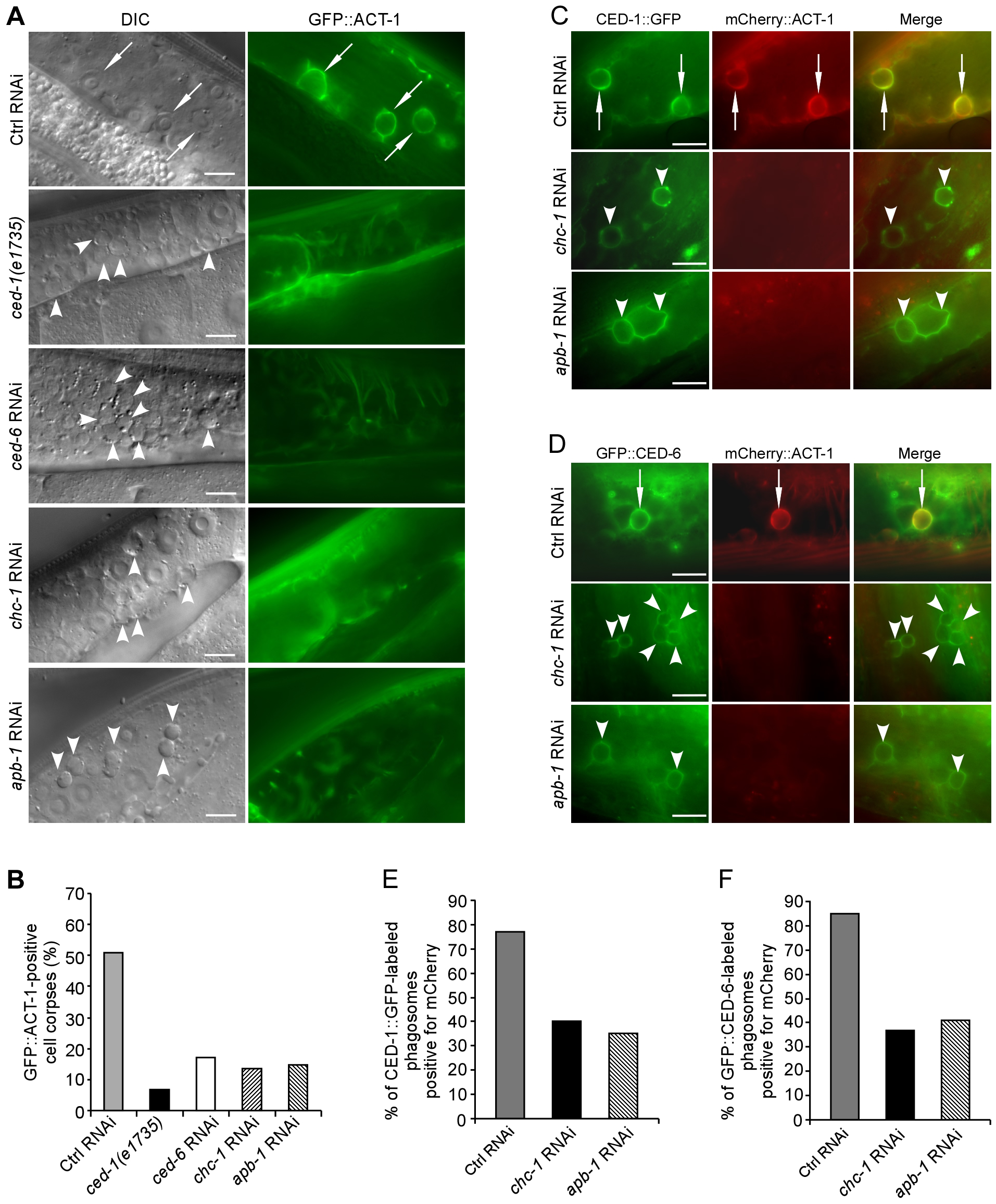 CHC-1 and AP2 are required for the rearrangement of the actin cytoskeleton necessary for cell corpse engulfment.