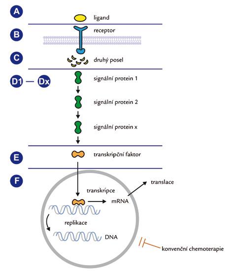 Obecné schéma přenosu signálu z membránového receptoru do nitra buňky. Různé úrovně možného terapeutického zásahu u aberantně aktivovaných drah.