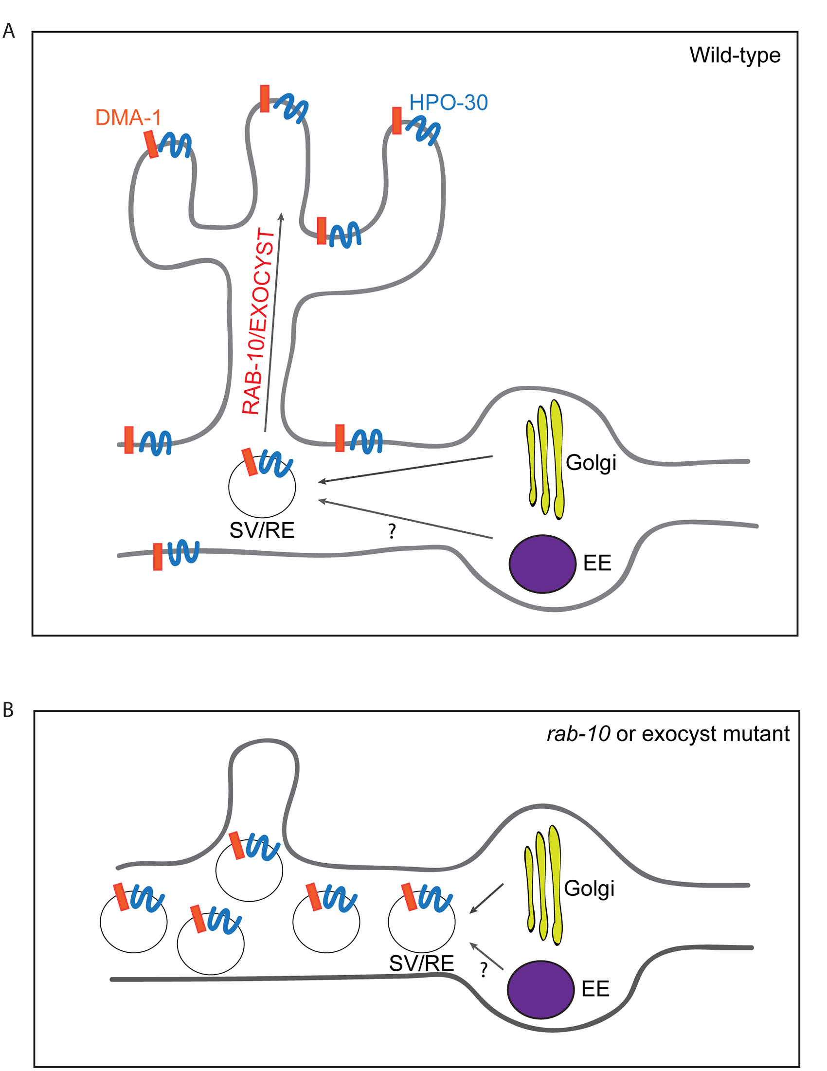 A summary model of how RAB-10 and exocyst complex function during dendrite arborization.
