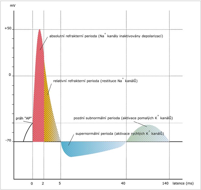 Změny dráždivosti axonu v průběhu vedení vzruchu. Po absolutní refrakterní fázi následuje relativní refrakterní fáze, supernormální perioda, pozdní subnormální perioda. Jsou vyznačeny role jednotlivých kanálů. (volně dle Ganonga a Nodery a Kajiho) [4,2].