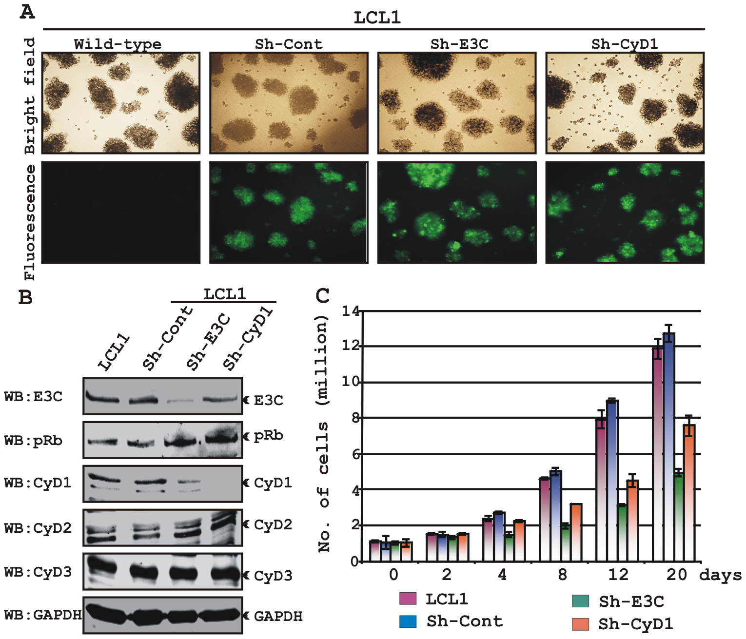 Both EBNA3C and Cyclin D1 are required for cell-cycle progression in EBV transformed cells.