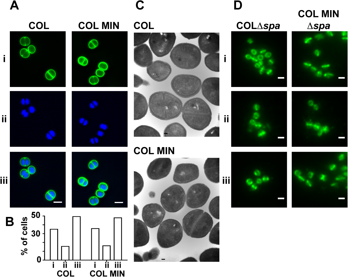<i>S</i>. <i>aureus</i> strain COL MIN displays normal morphology and correct localization of PBP1 and PBP2.