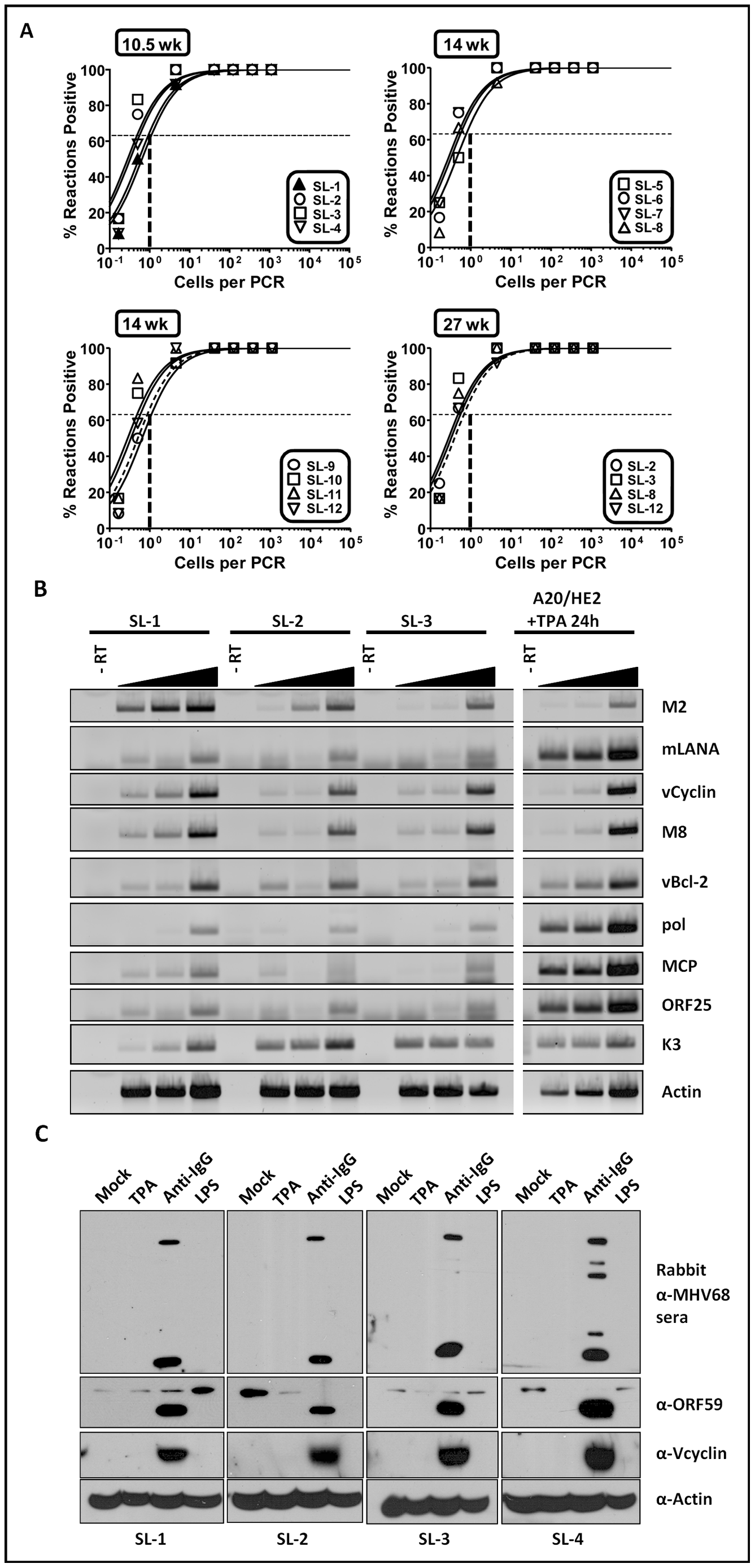 Analyses of viral genome frequency, viral gene expression and induction of virus reactivation from MHV68 immortalized B cell lines.