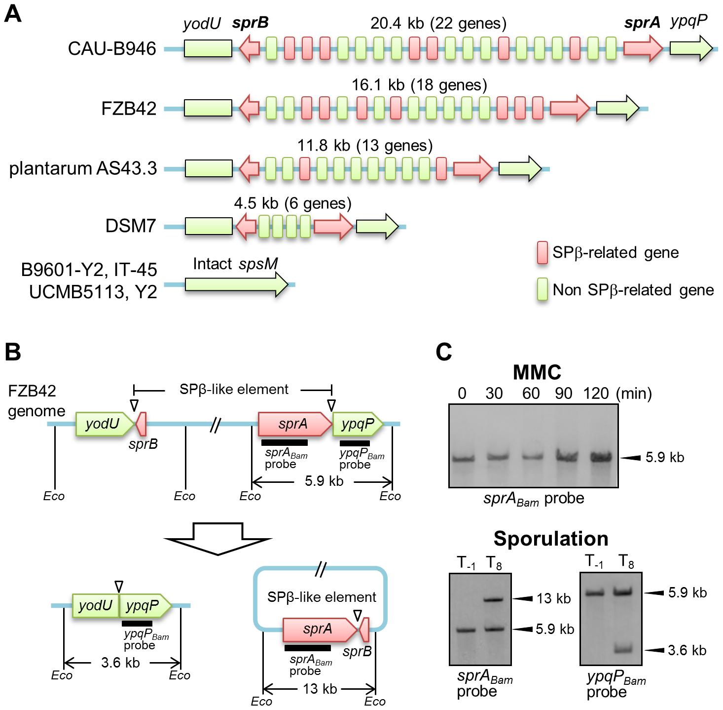 DNA rearrangement of <i>spsM</i> in <i>B. amyloliquefaciens</i>.