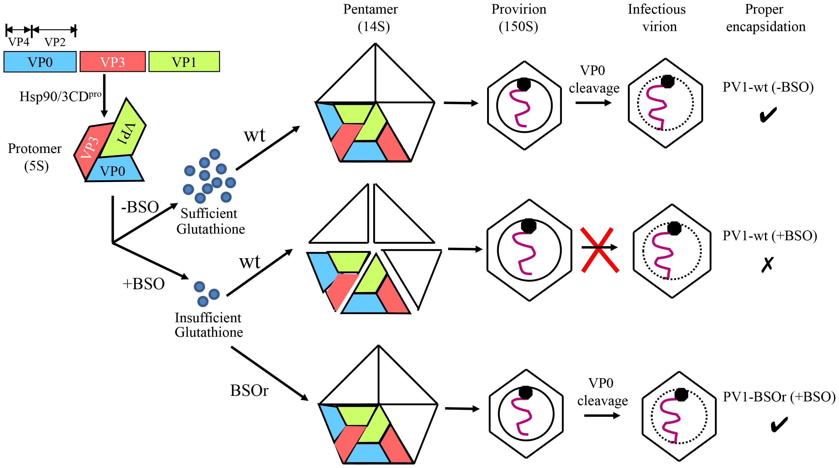 Model for the role of GSH in the morphogenesis of C-cluster enteroviruses.