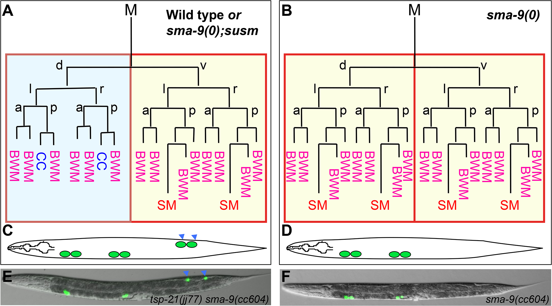 The <i>sma-9(0)</i> suppressor mutations revert the M lineage dorsal-to-ventral fate transformation defect in <i>sma-9(0)</i> mutants to the wild-type pattern.