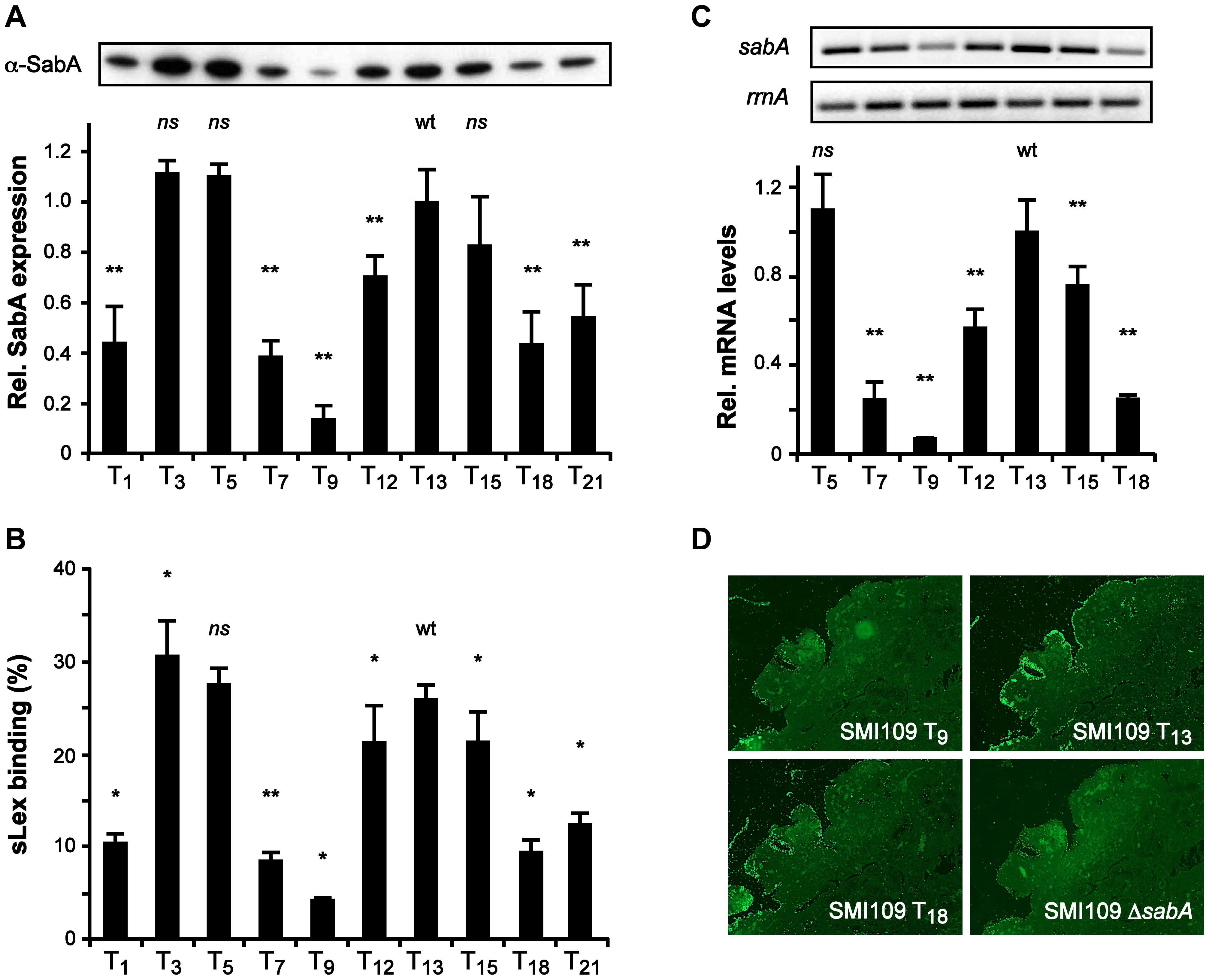 The T-tract length alters sLex-receptor binding activity by affecting <i>sabA</i> mRNA levels in <i>H. pylori</i>.